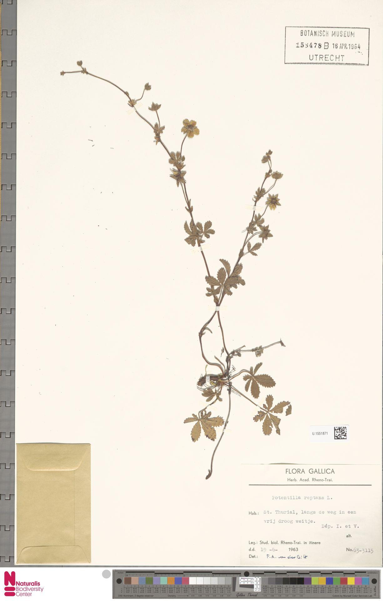 U.1551871 | Potentilla reptans L.