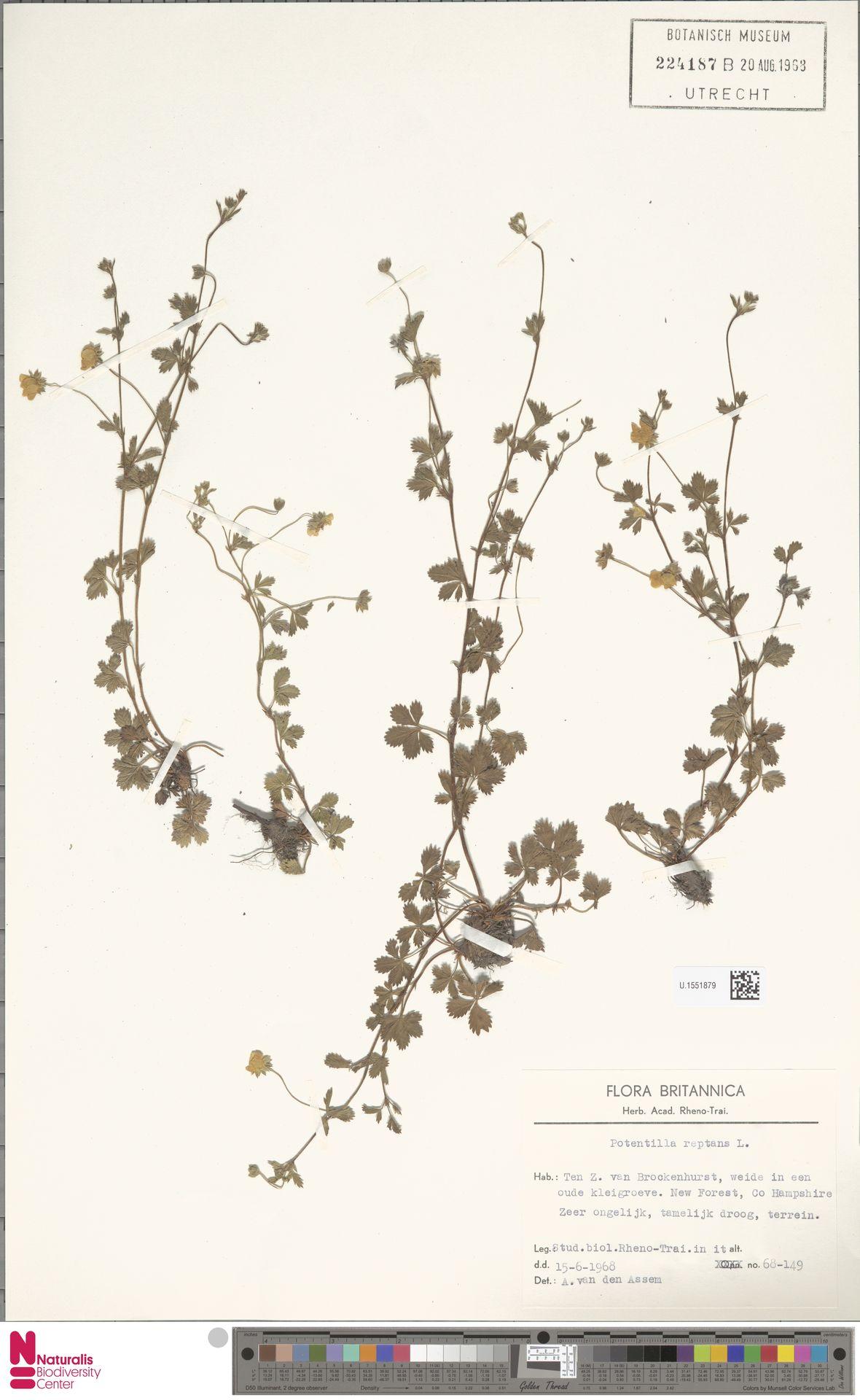 U.1551879 | Potentilla reptans L.