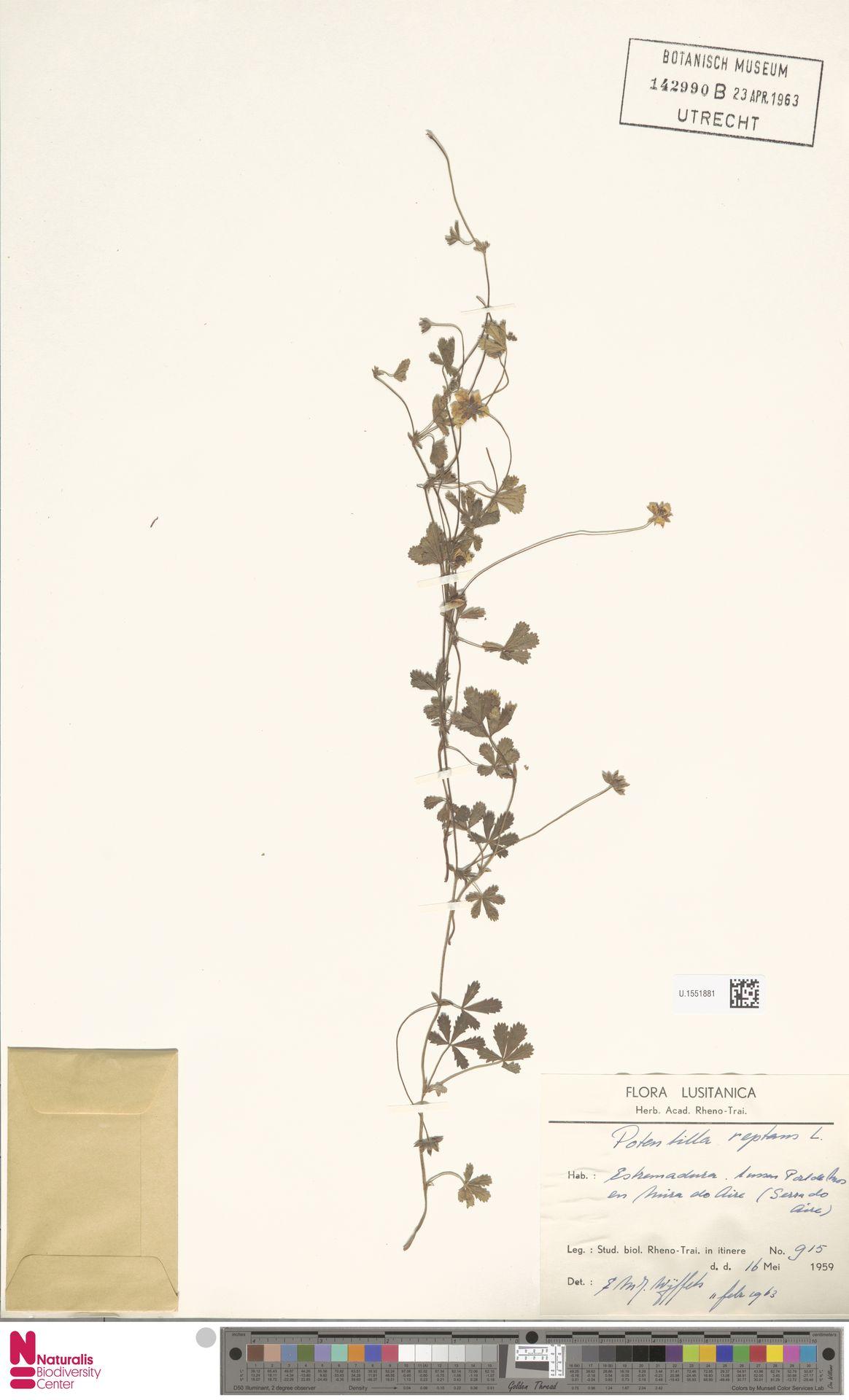 U.1551881 | Potentilla reptans L.