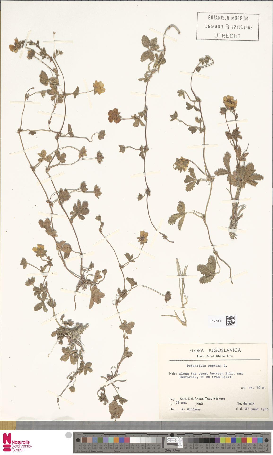 U.1551890 | Potentilla reptans L.