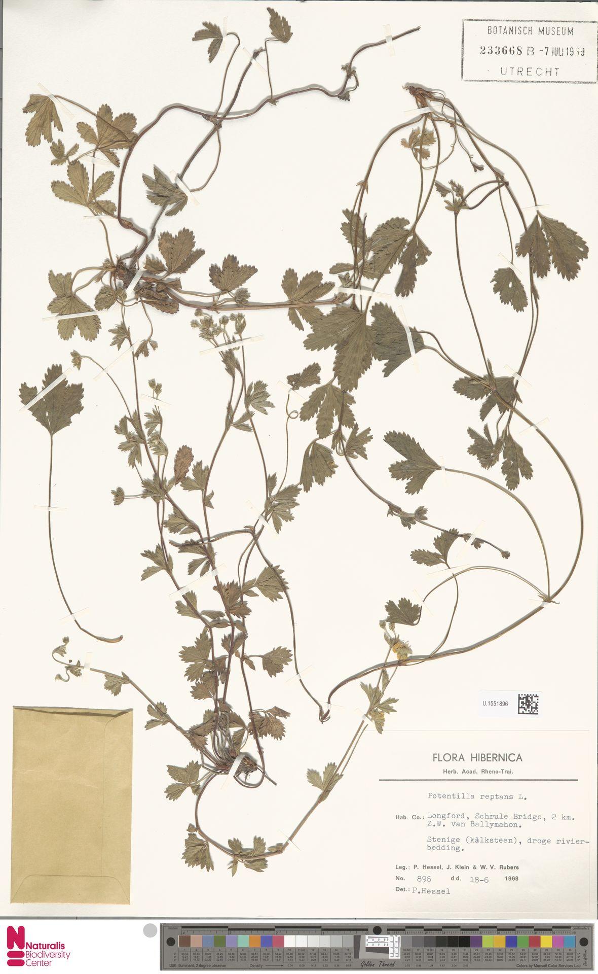 U.1551896 | Potentilla reptans L.