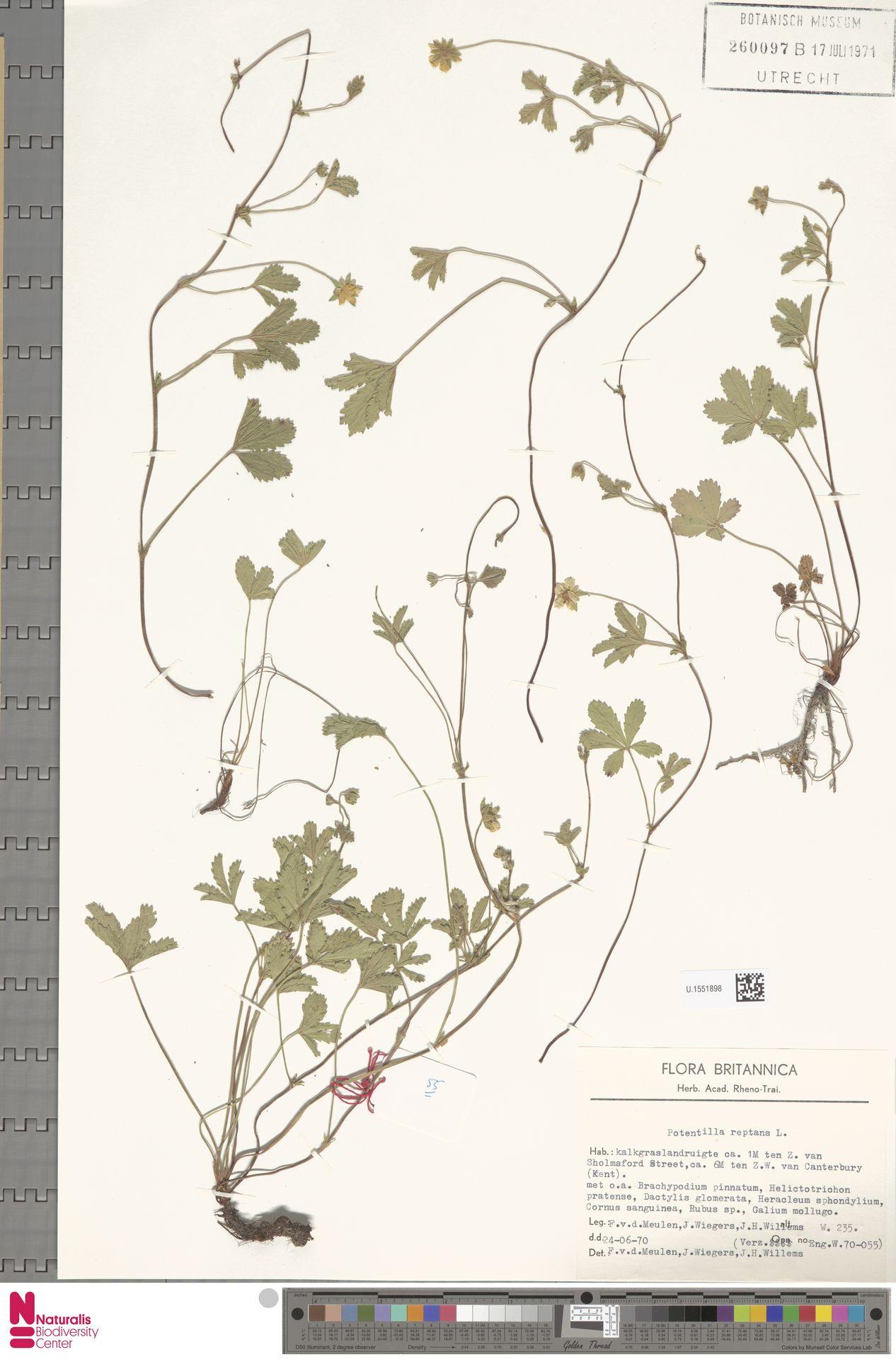 U.1551898 | Potentilla reptans L.