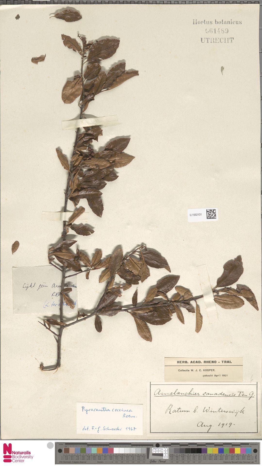 U.1552131 | Pyracantha coccinea M.Roem.
