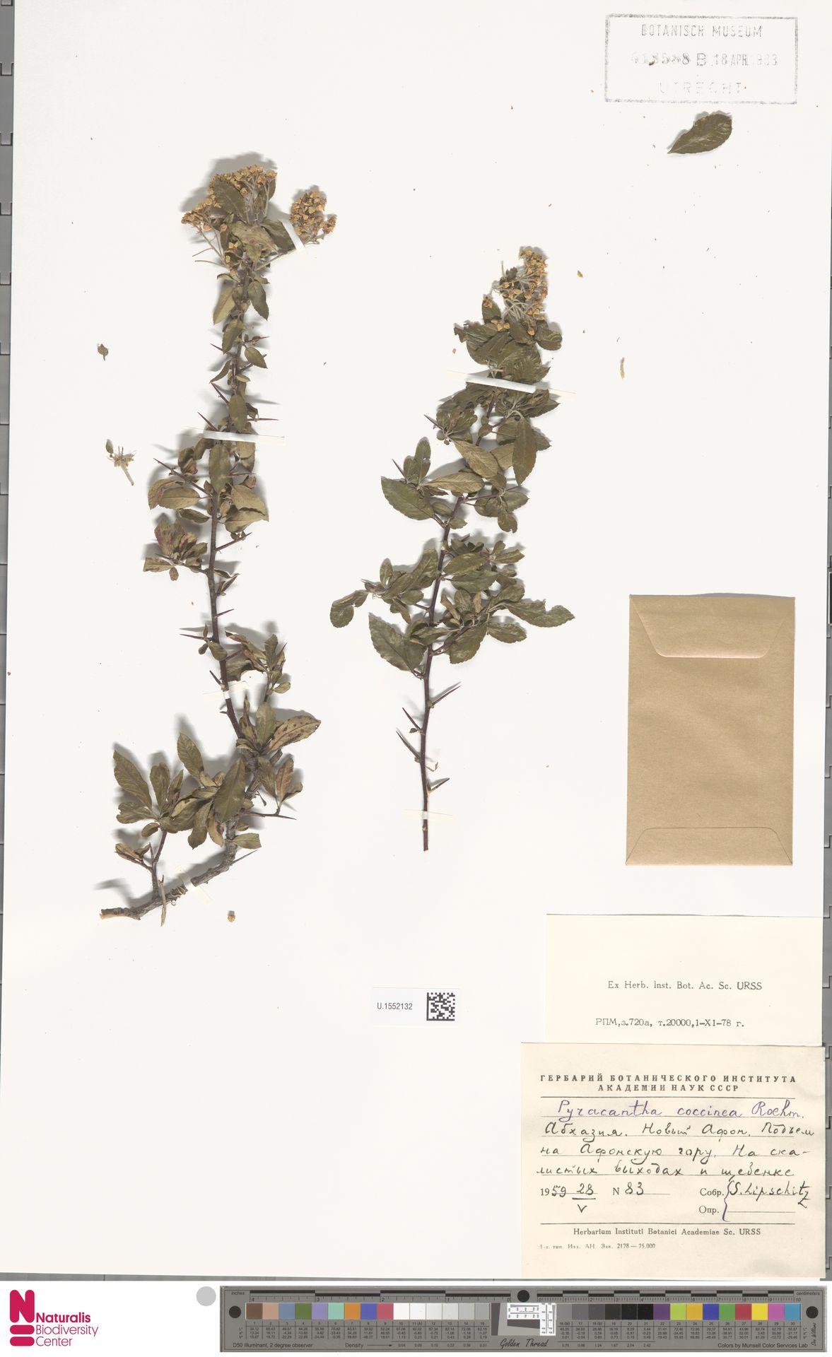 U.1552132 | Pyracantha coccinea M.Roem.