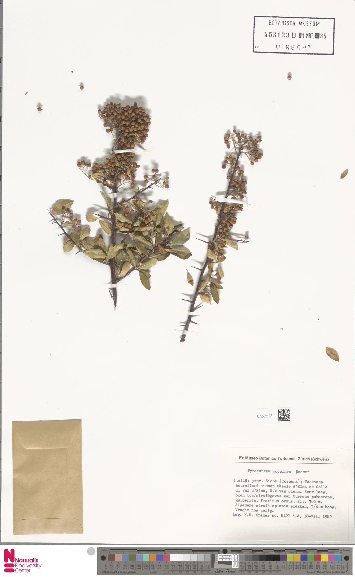 U.1552133 | Pyracantha coccinea M.Roem.