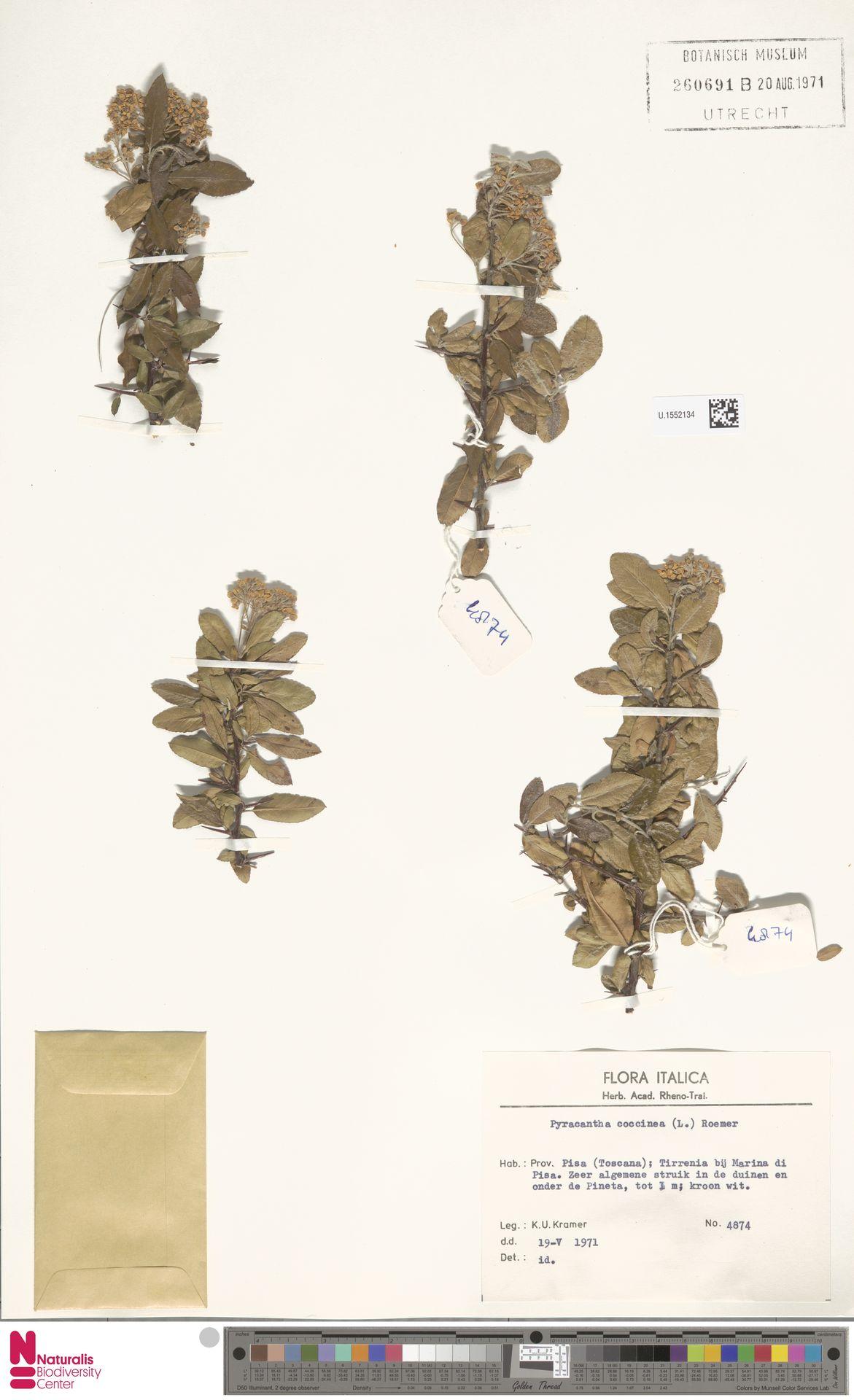 U.1552134 | Pyracantha coccinea M.Roem.