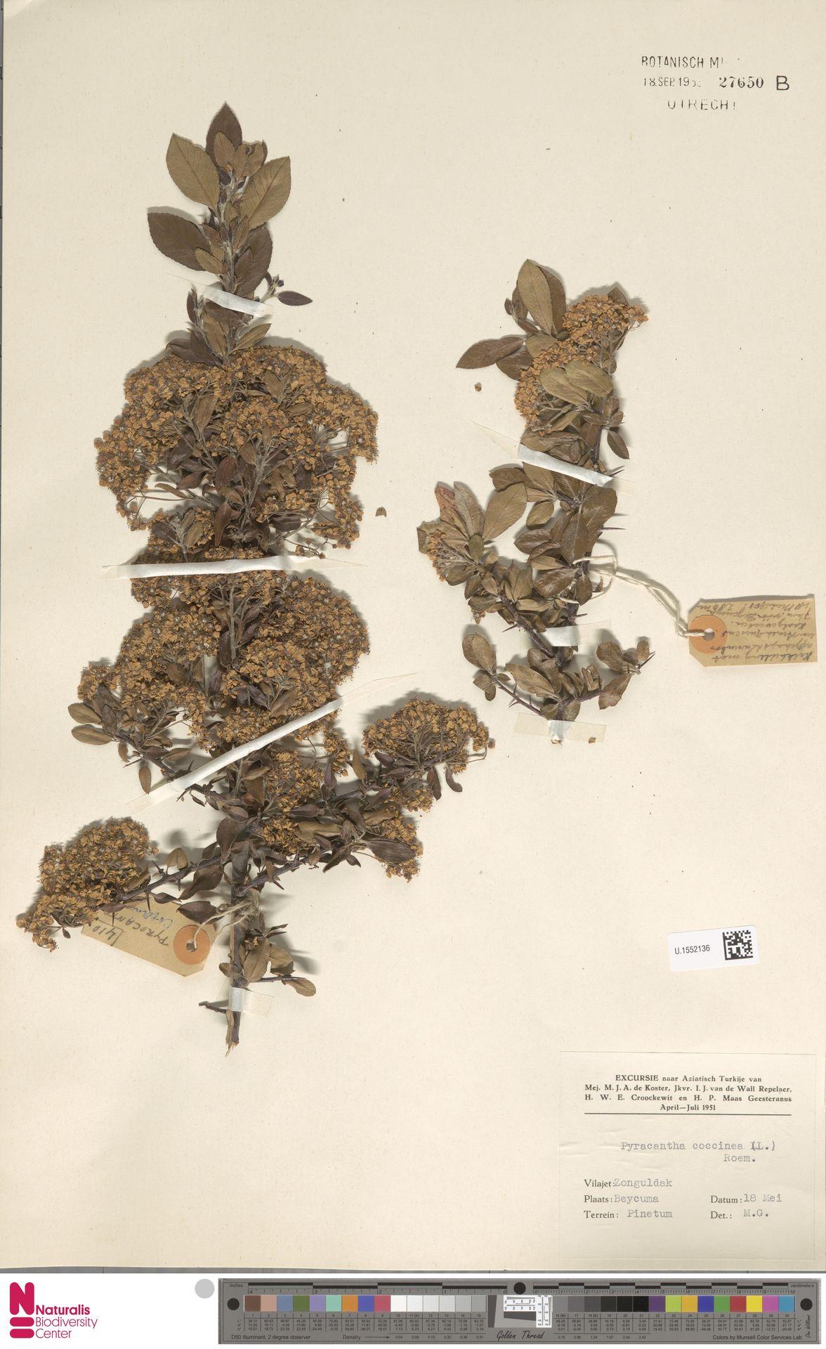 U.1552136 | Pyracantha coccinea M.Roem.