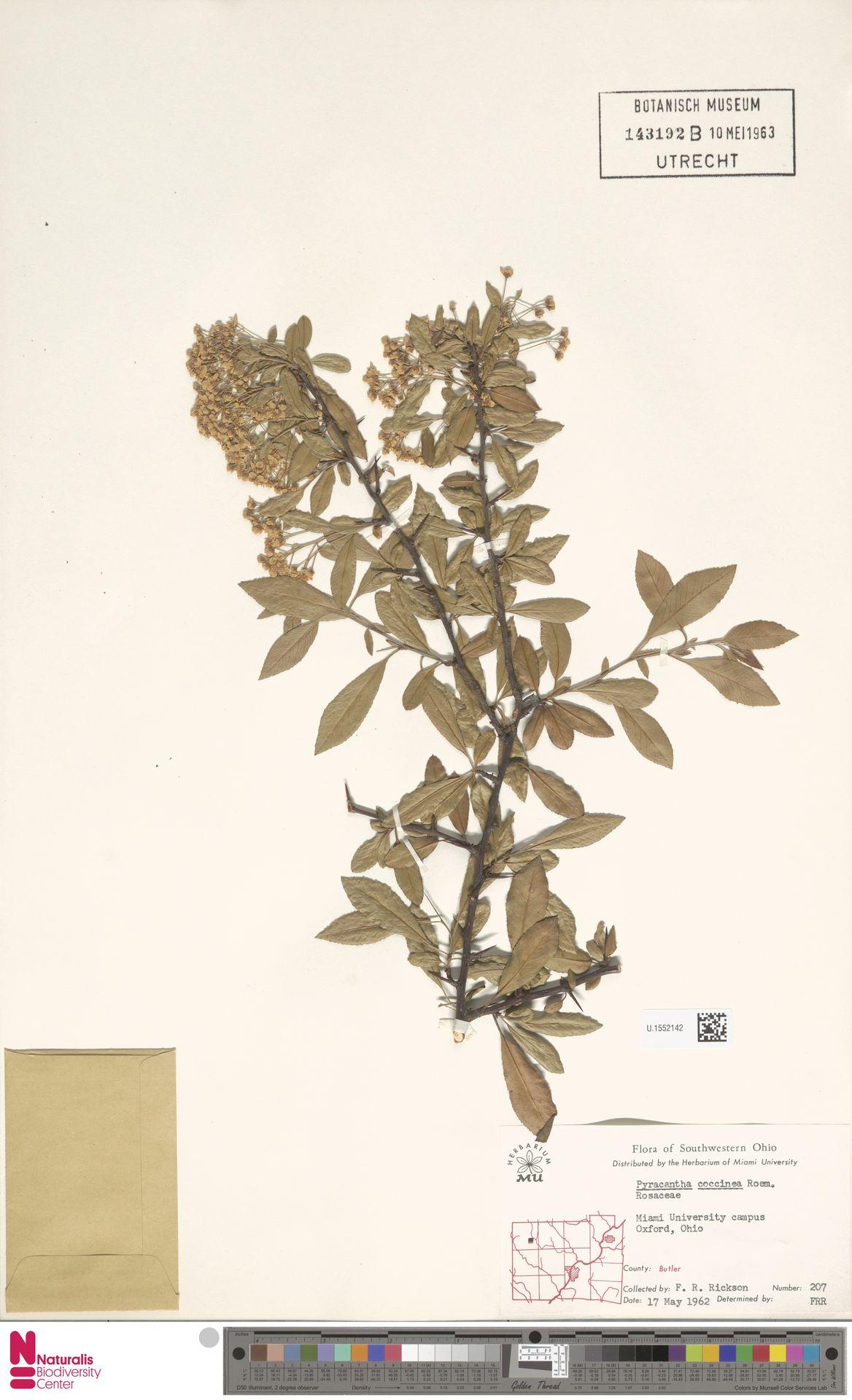 U.1552142 | Pyracantha coccinea M.Roem.