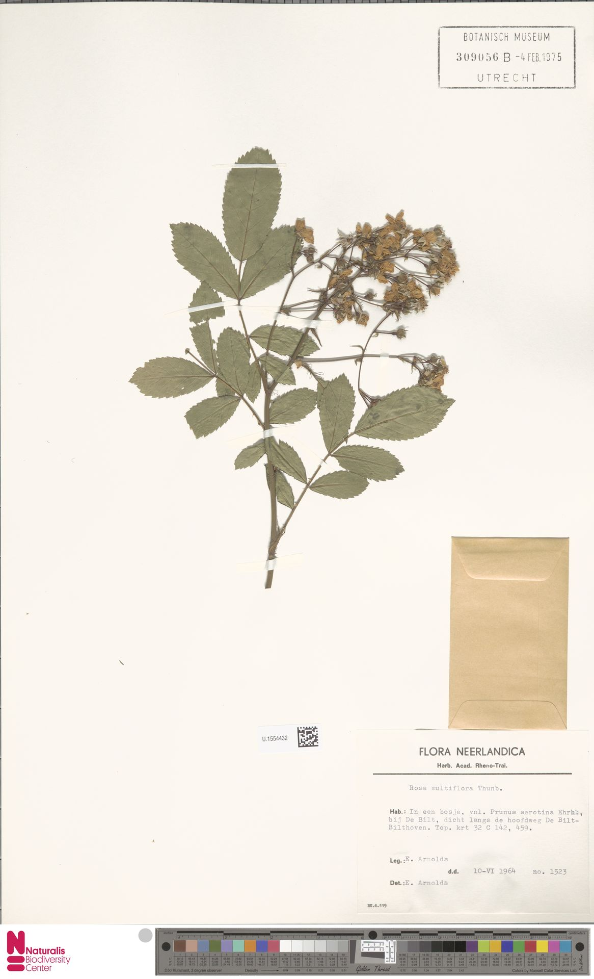 U.1554432 | Rosa multiflora Thunb.
