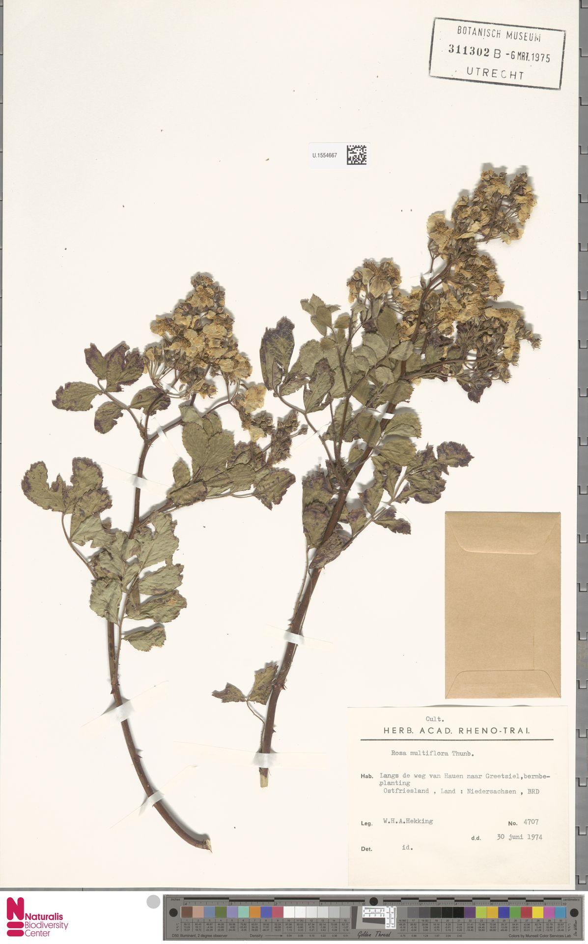 U.1554667 | Rosa multiflora Thunb.