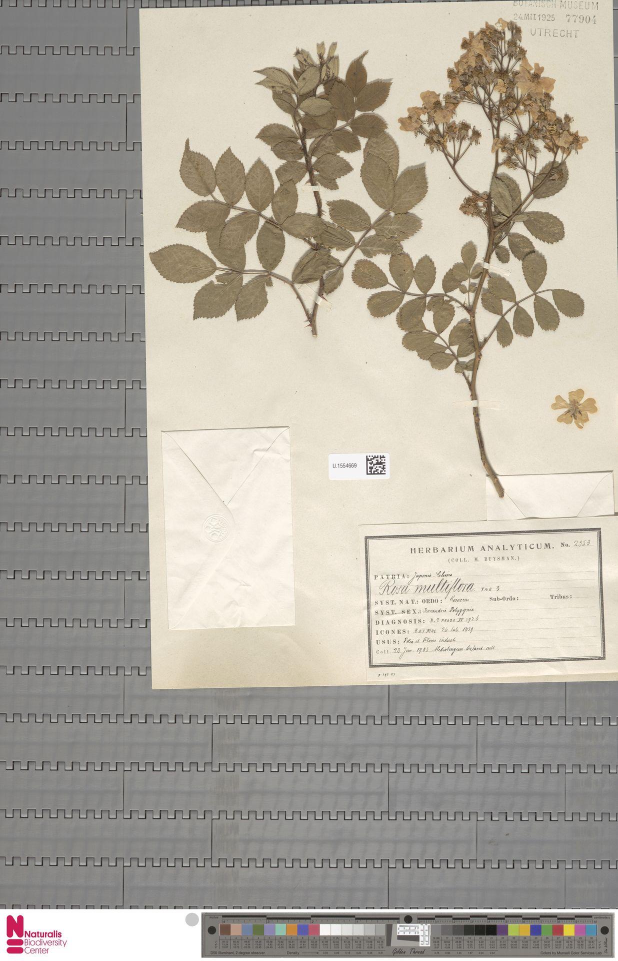 U.1554669 | Rosa multiflora Thunb.