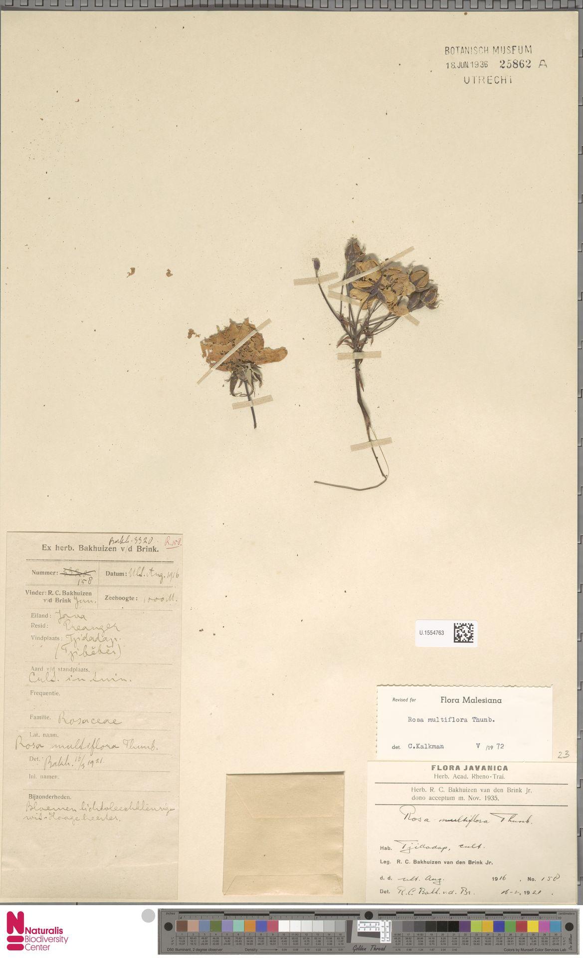 U.1554763 | Rosa multiflora Thunb.