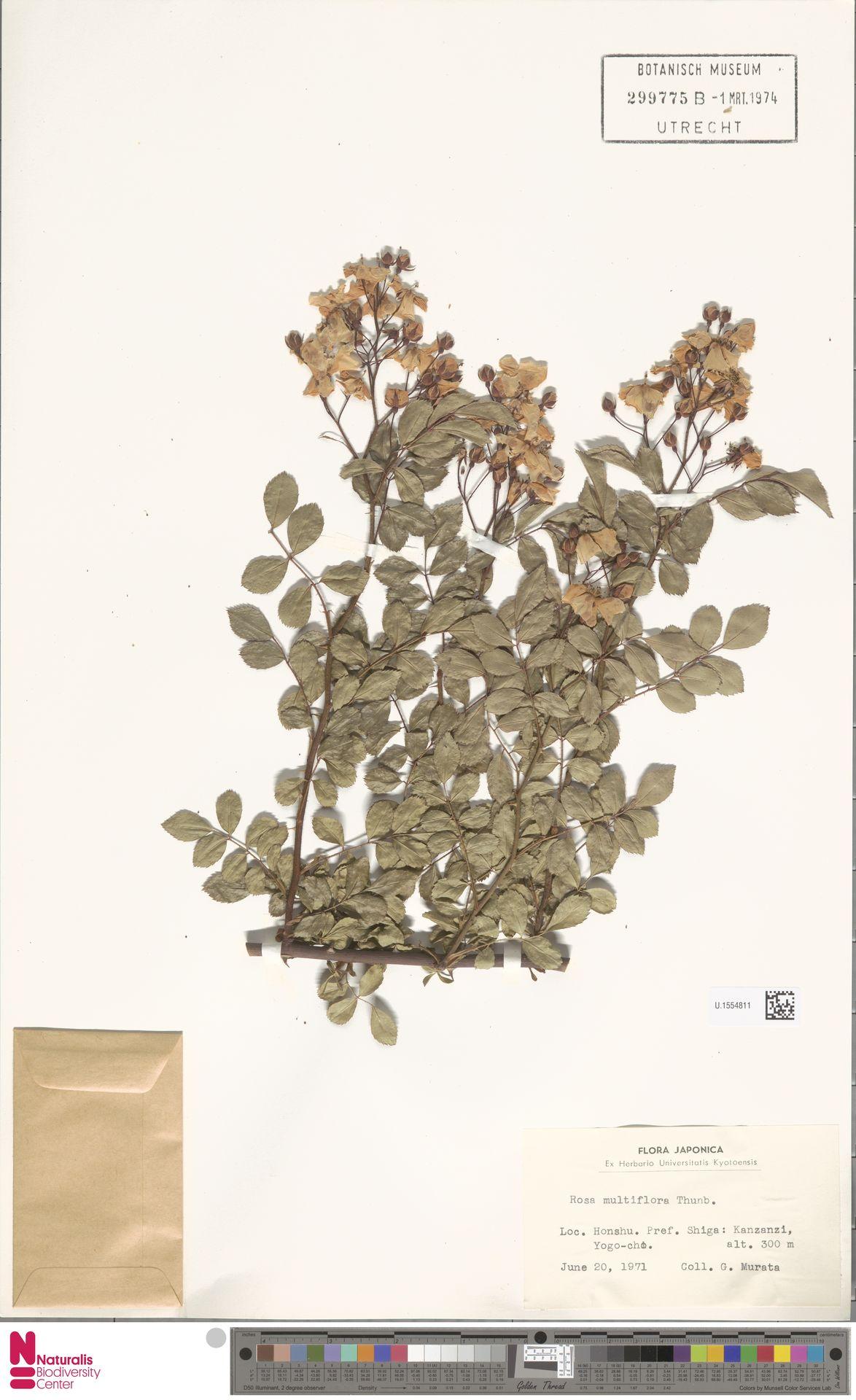U.1554811 | Rosa multiflora Thunb.
