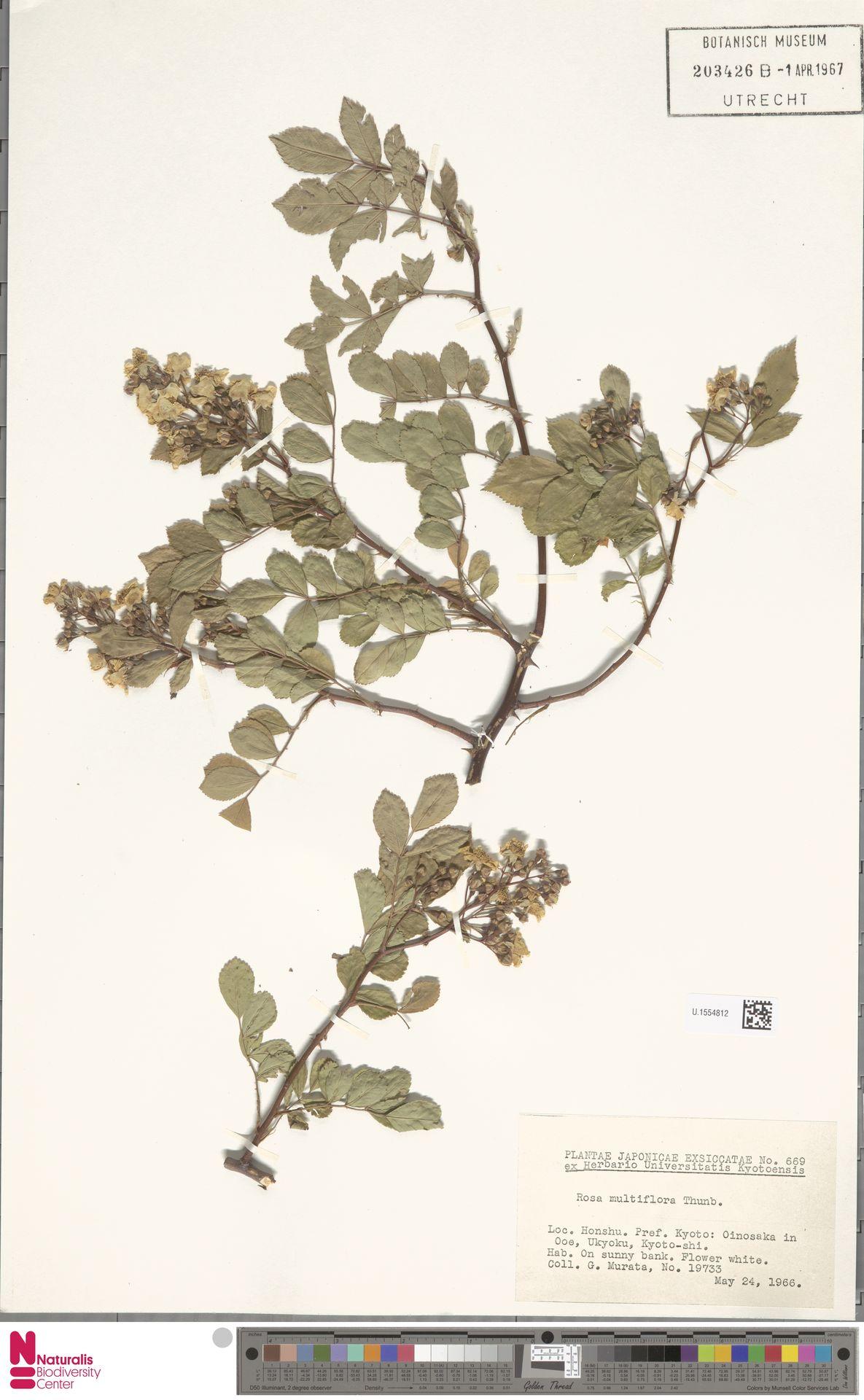 U.1554812 | Rosa multiflora Thunb.