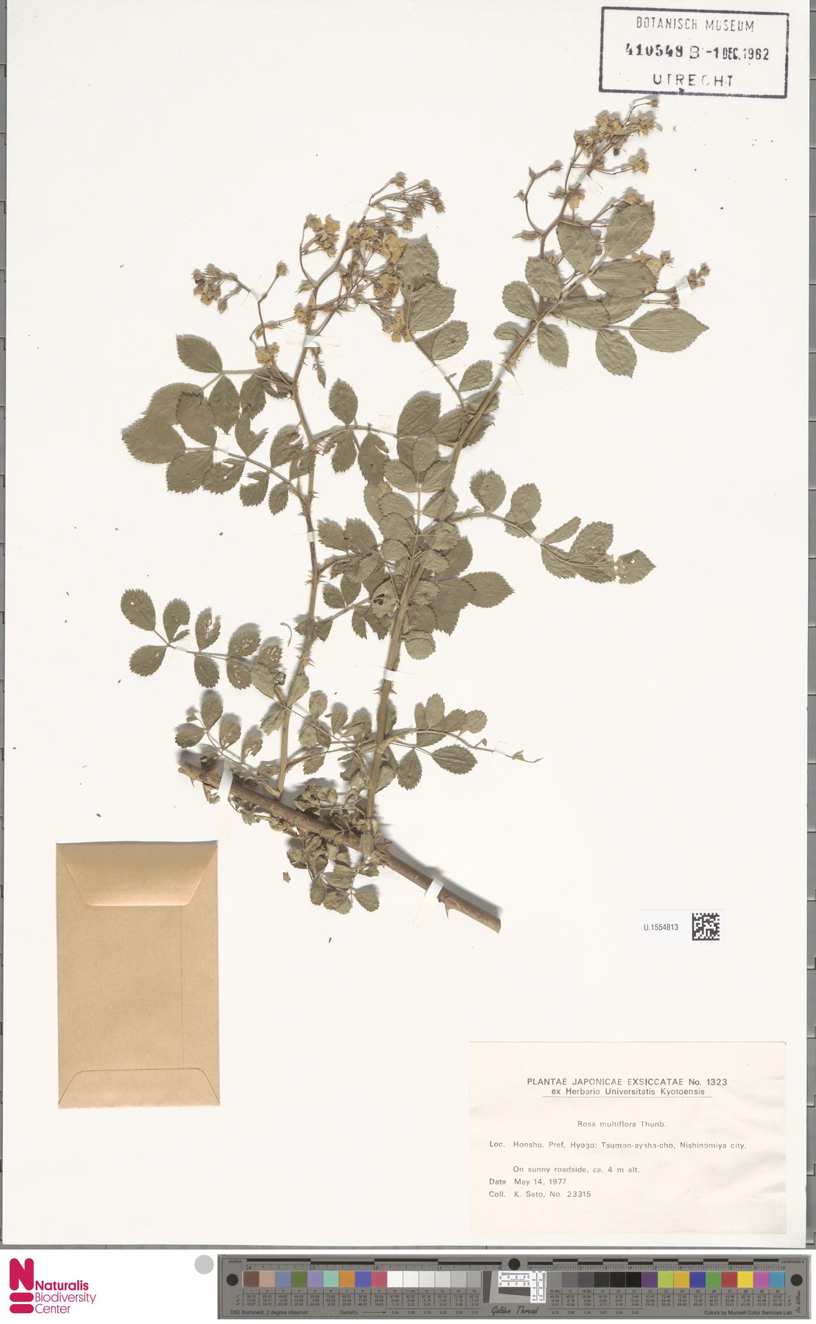 U.1554813 | Rosa multiflora Thunb.