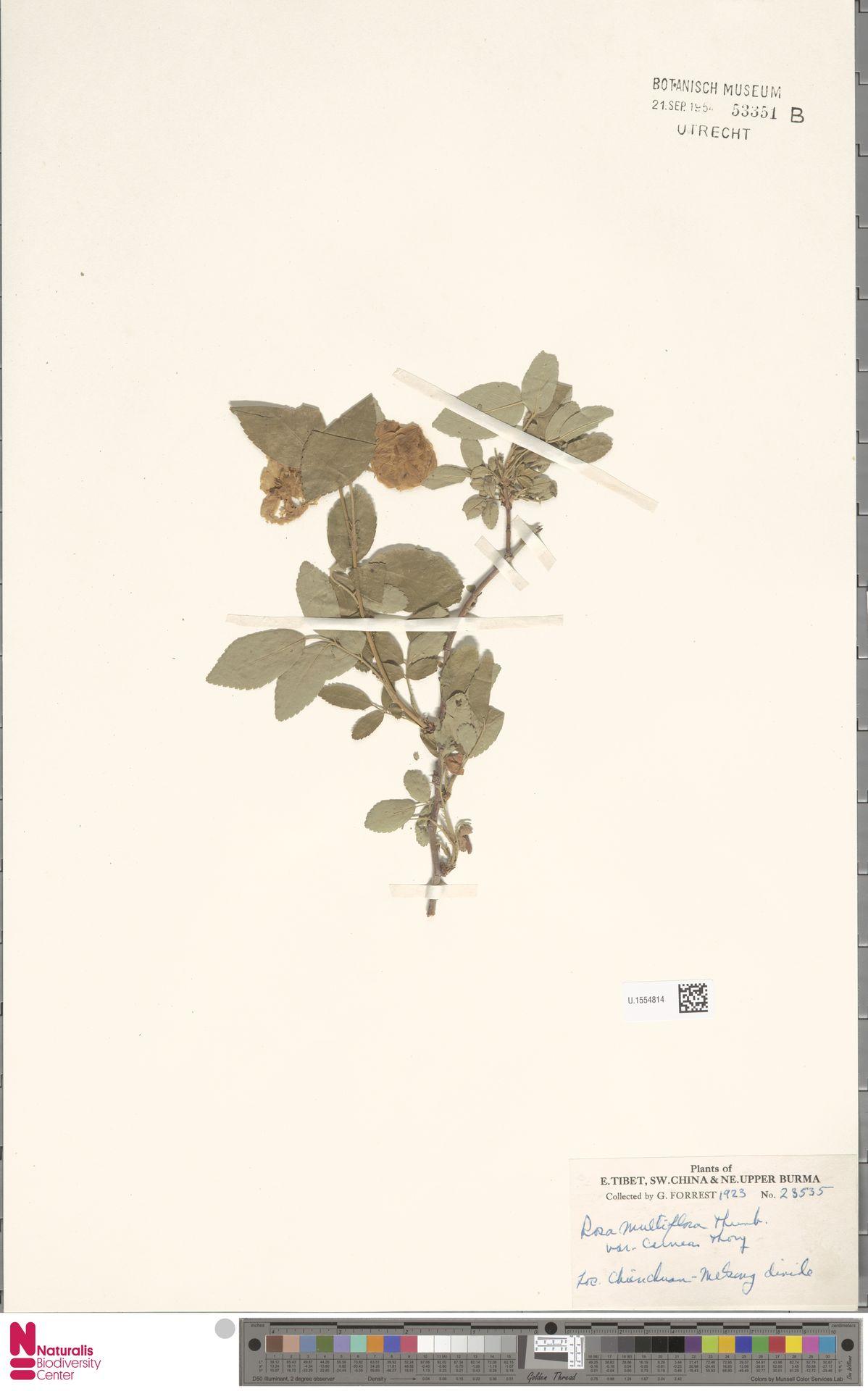 U.1554814   Rosa multiflora Thunb.