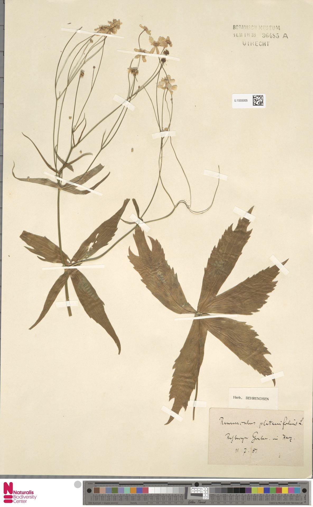 U.1555005 | Ranunculus platanifolius L.