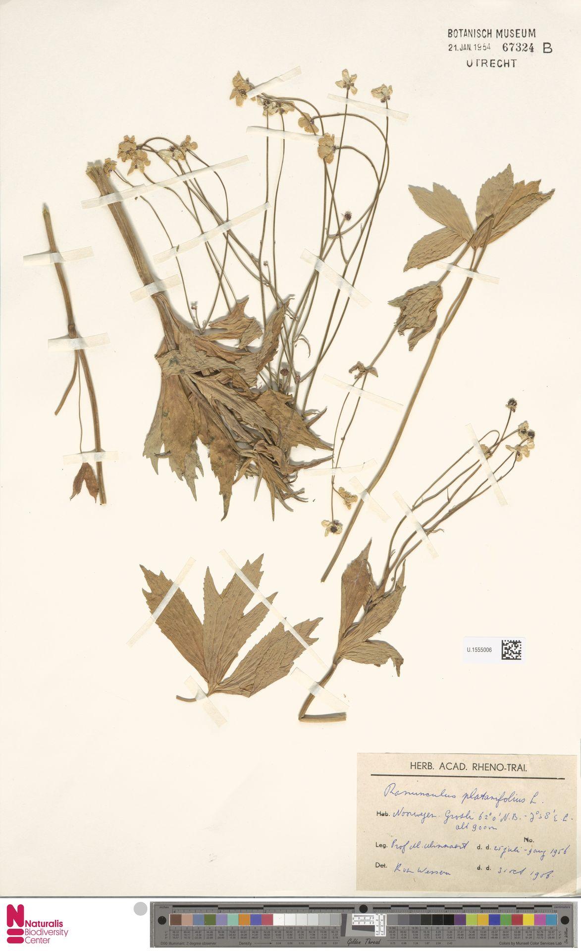 U.1555006   Ranunculus platanifolius L.