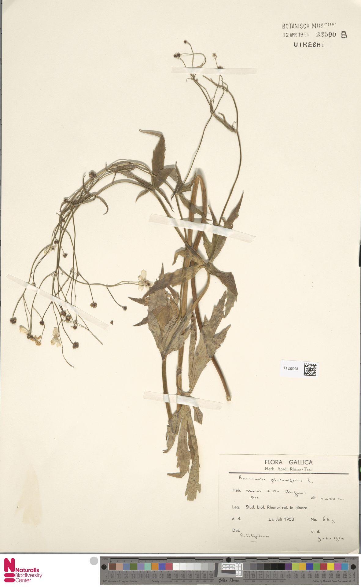 U.1555008 | Ranunculus platanifolius L.