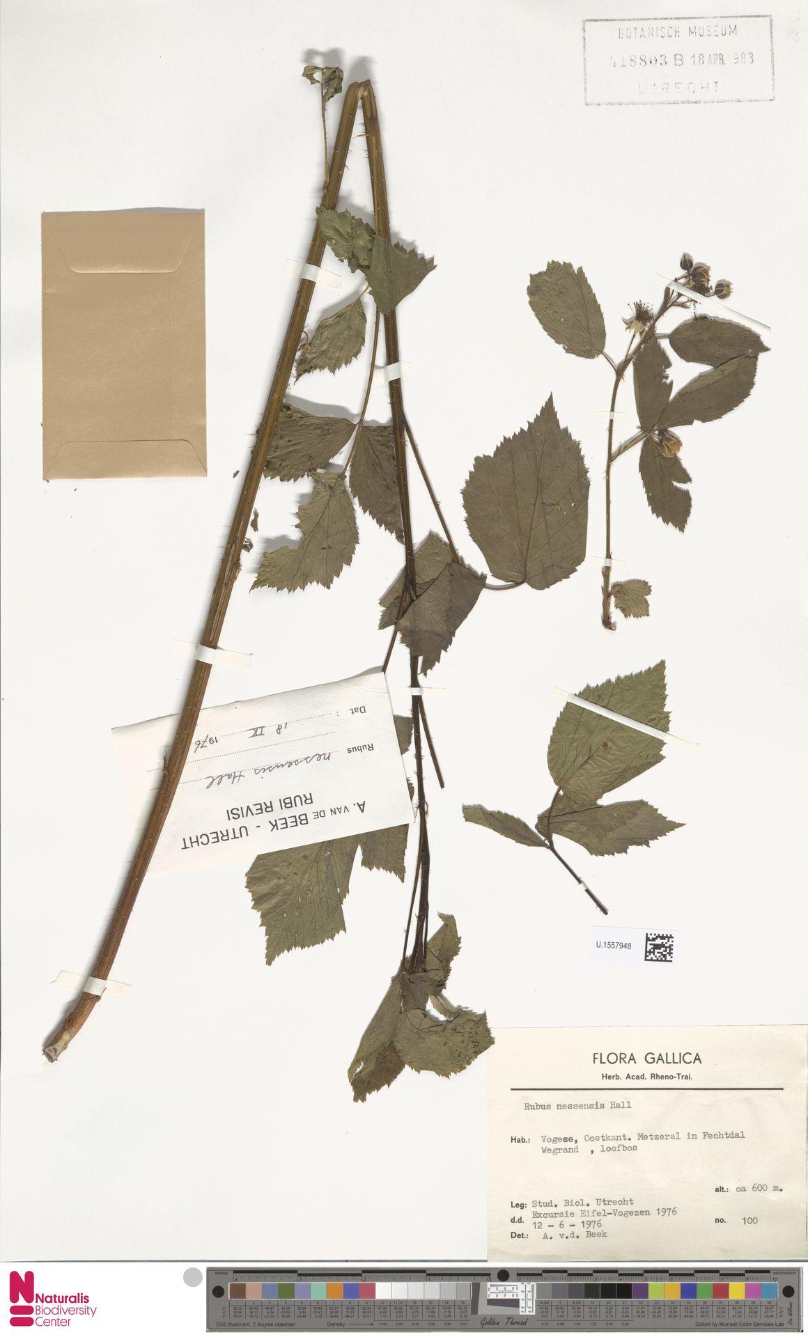 U.1557948 | Rubus nessensis Hall
