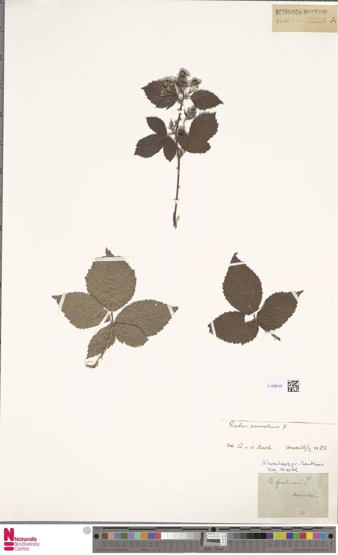 U.1558145 | Rubus ammobius Focke