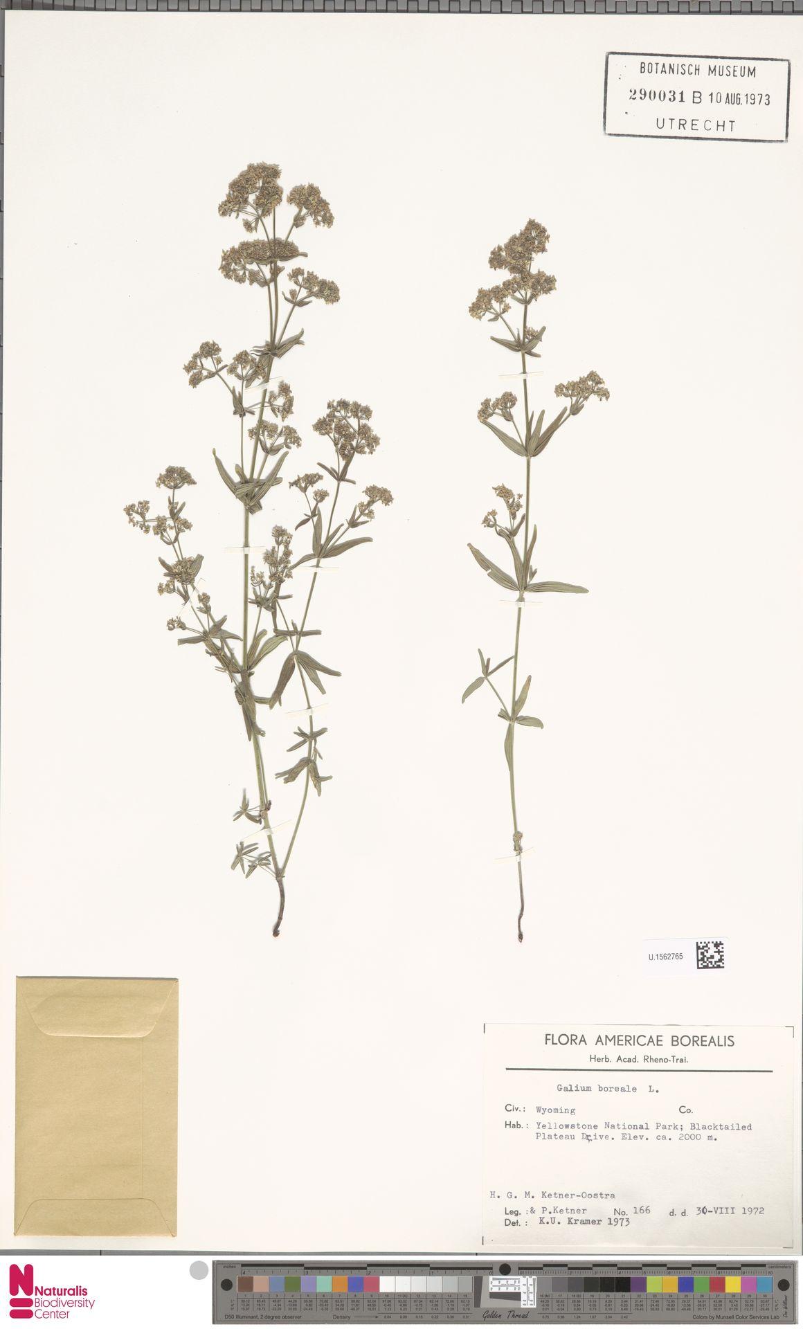 U.1562765 | Galium boreale L.