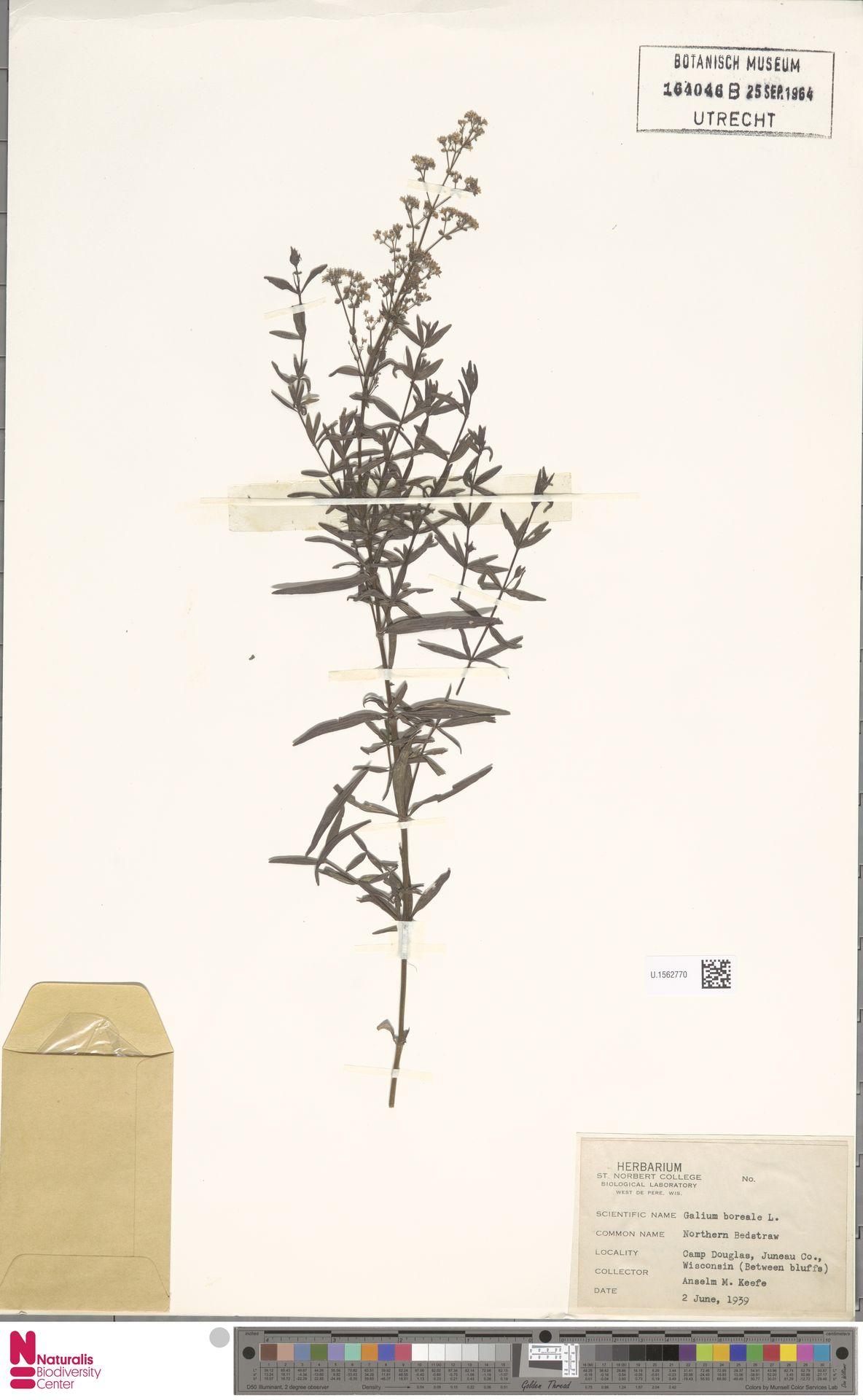 U.1562770 | Galium boreale L.