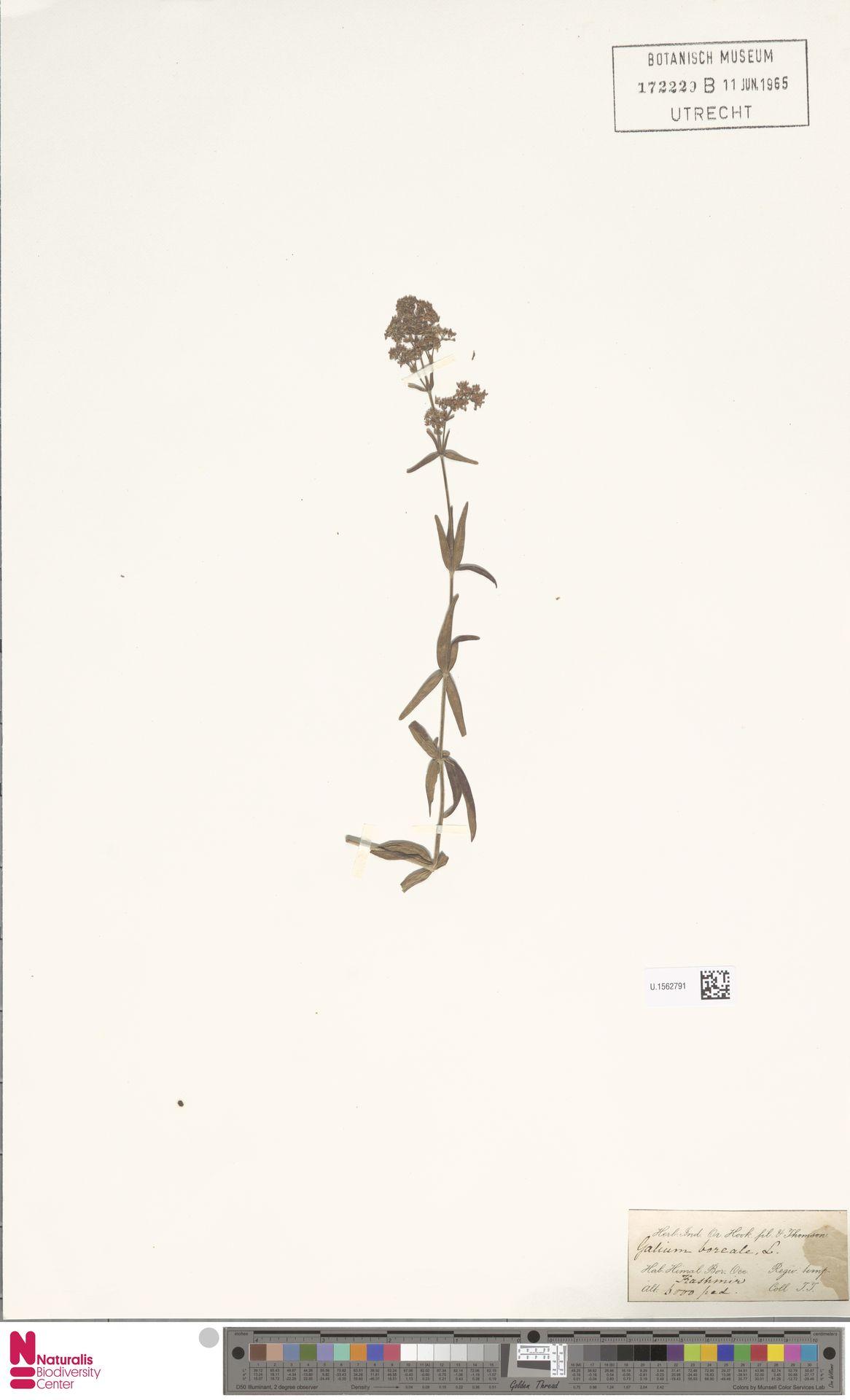 U.1562791 | Galium boreale L.