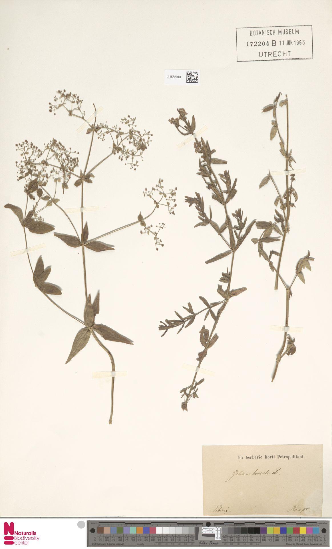U.1562913 | Galium boreale L.