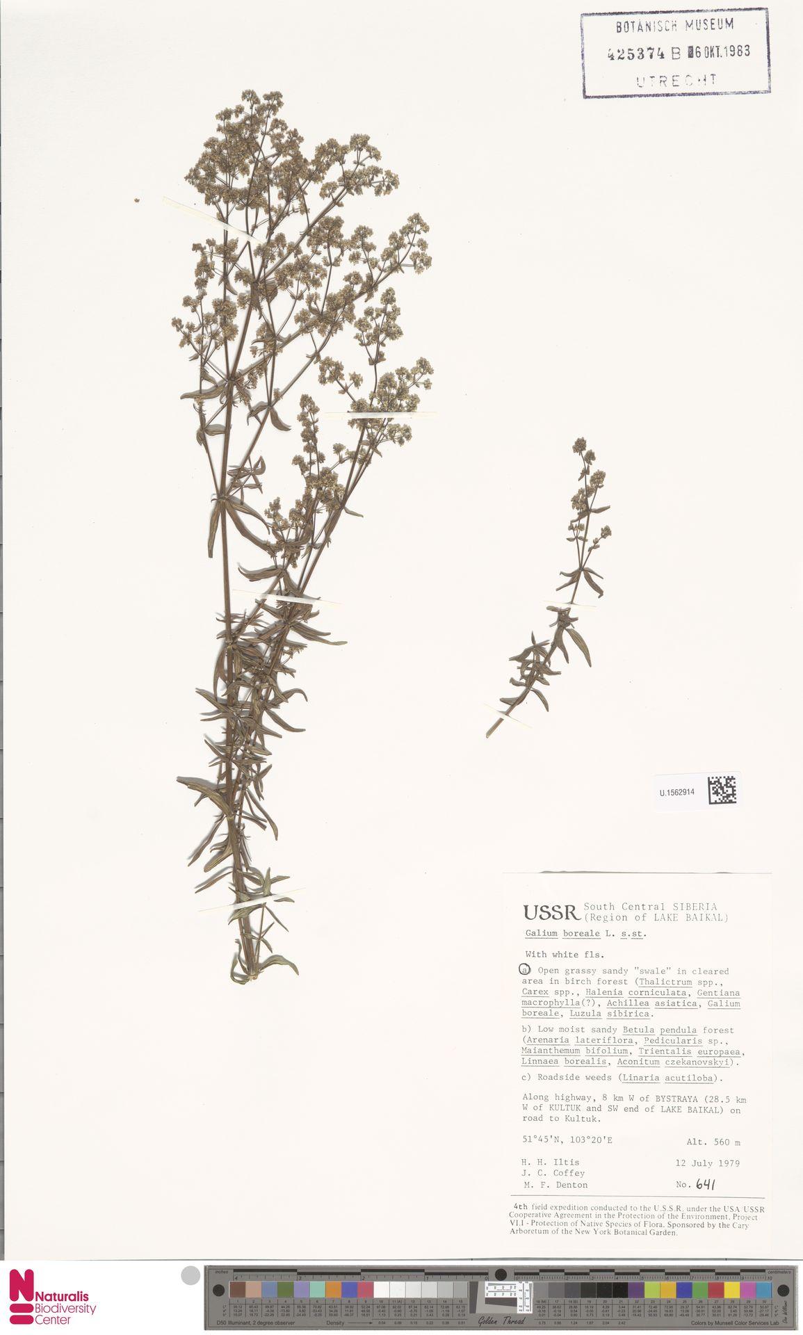 U.1562914 | Galium boreale L.