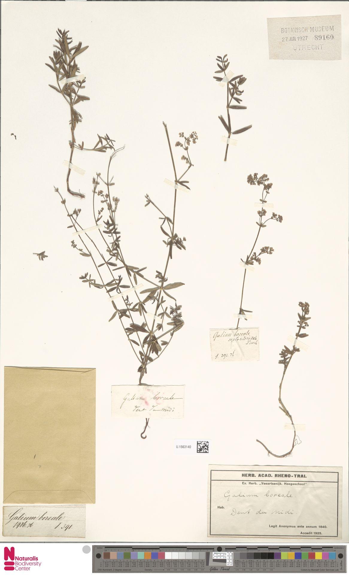 U.1563140 | Galium boreale L.