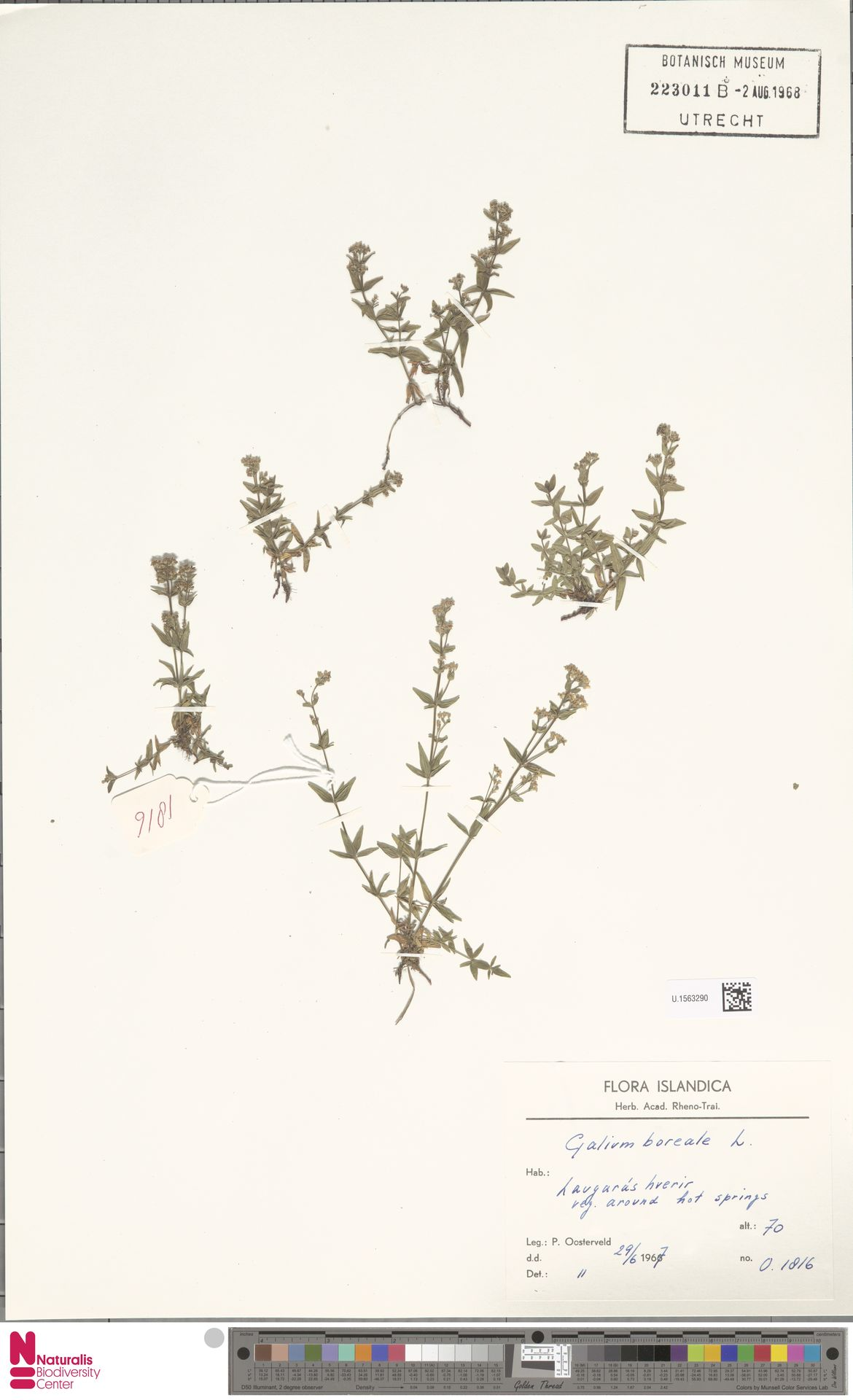 U.1563290 | Galium boreale L.