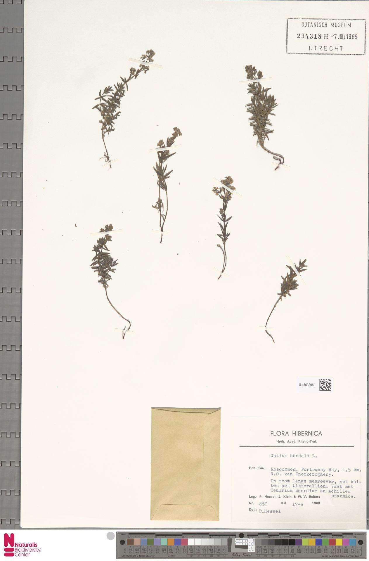 U.1563298   Galium boreale L.