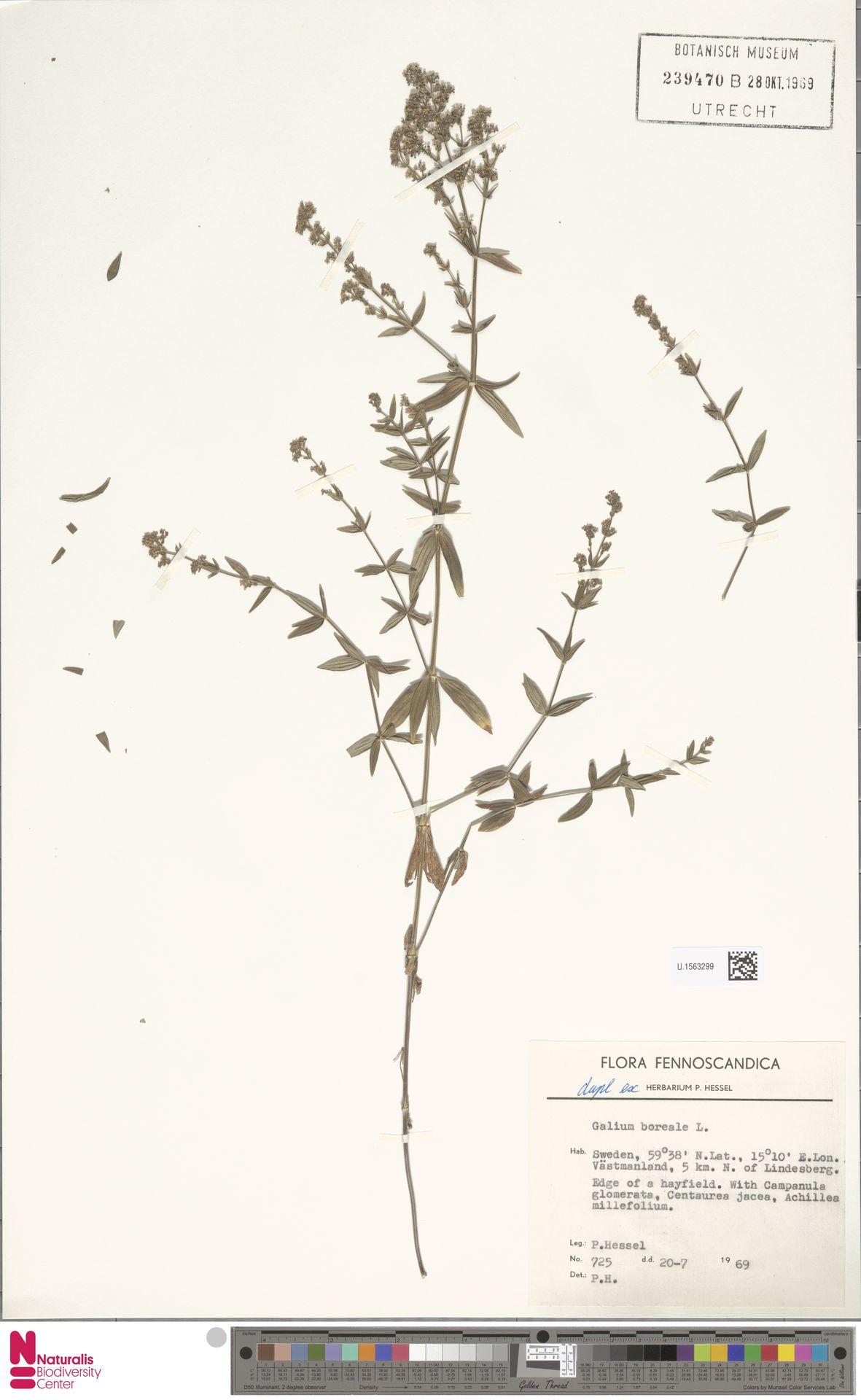 U.1563299 | Galium boreale L.