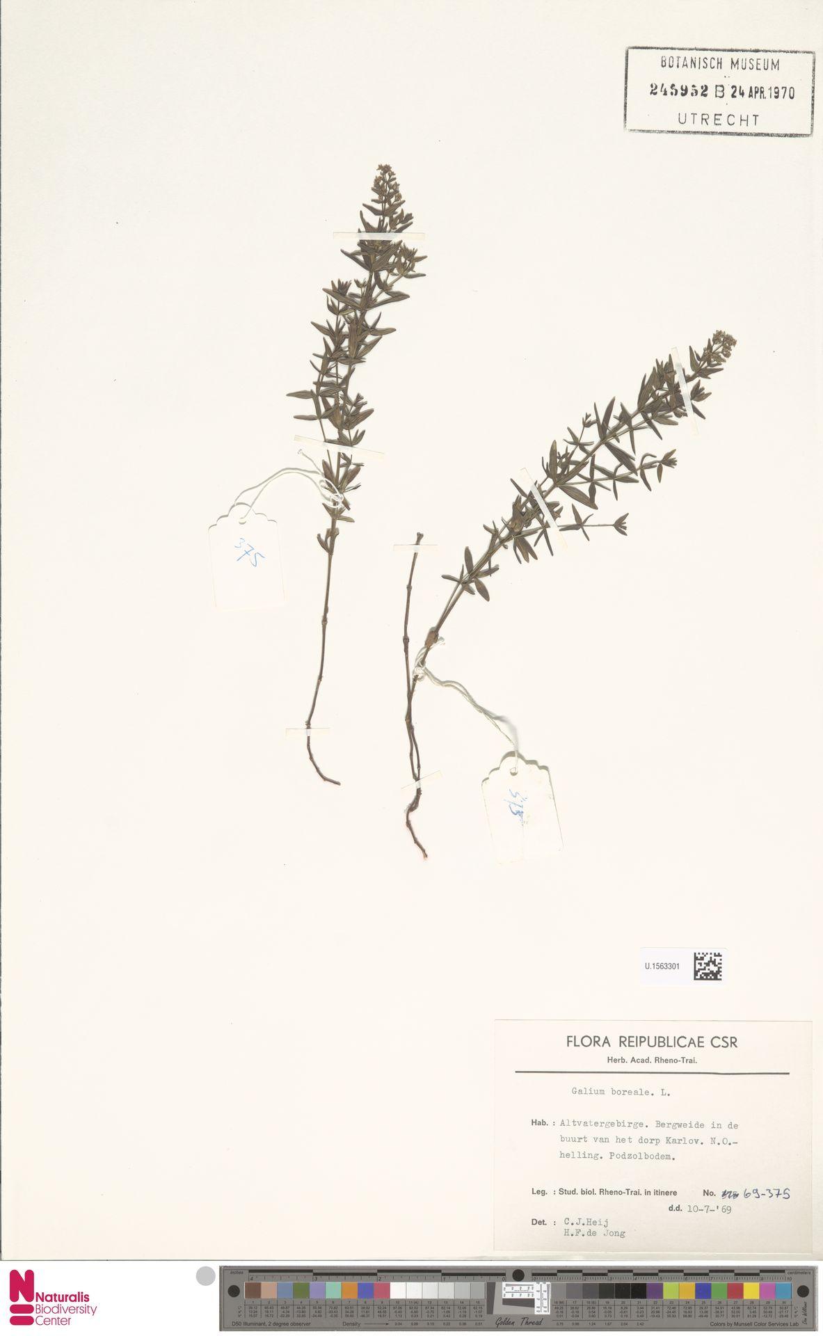 U.1563301 | Galium boreale L.