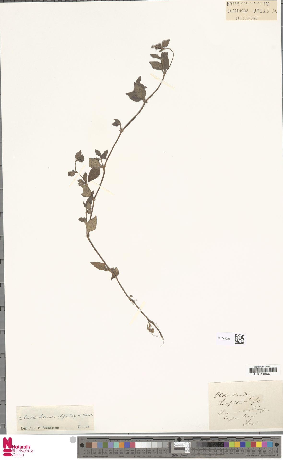 U.1568021 | Neanotis hirsuta (L.f.) W.H.Lewis
