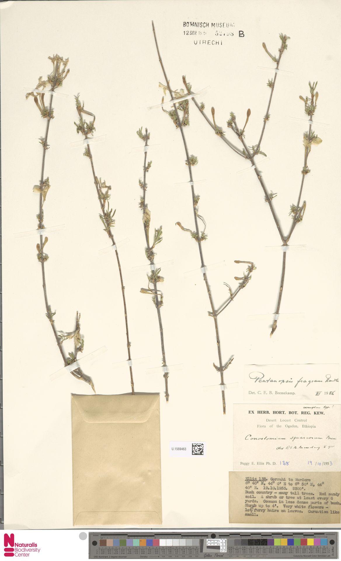 U.1569463   Pentanopsis fragrans Rendle