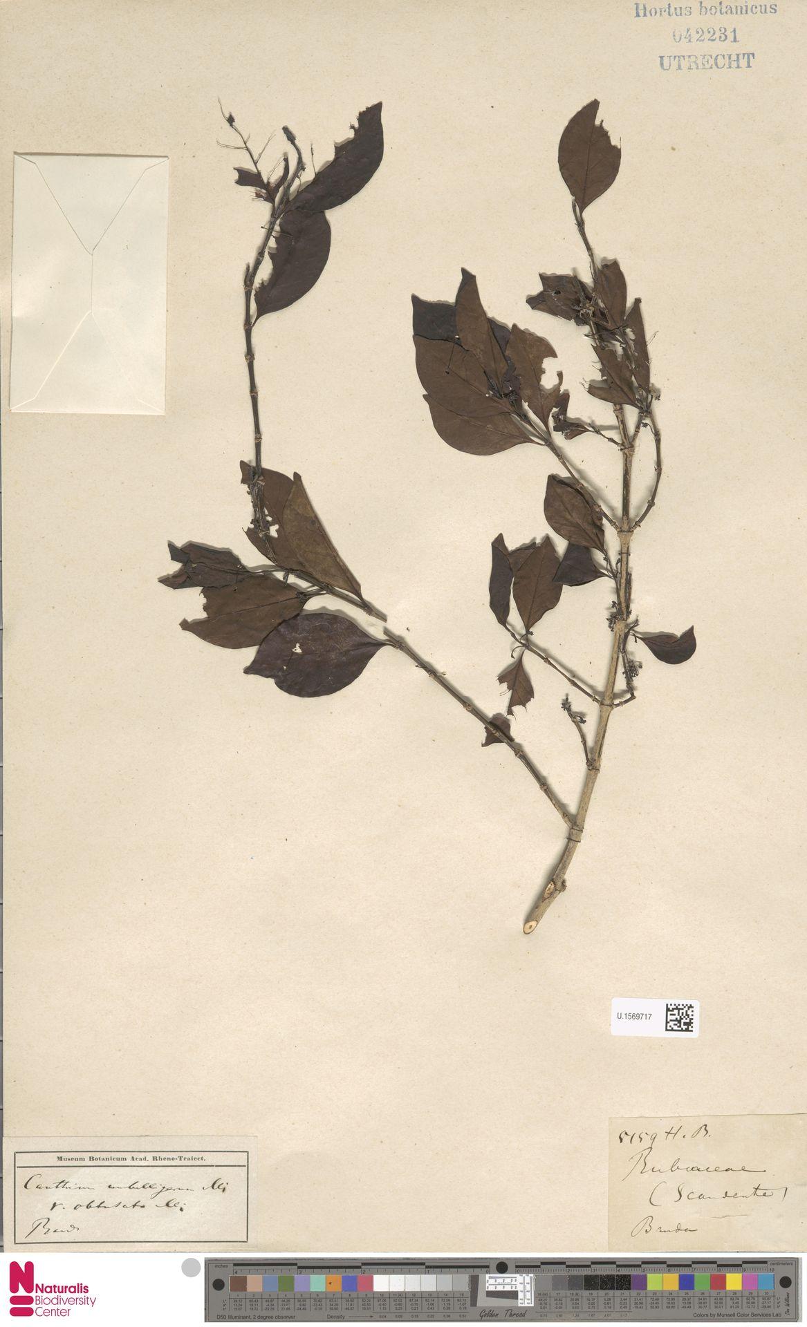 U.1569717 | Canthium umbelligerum Miq.