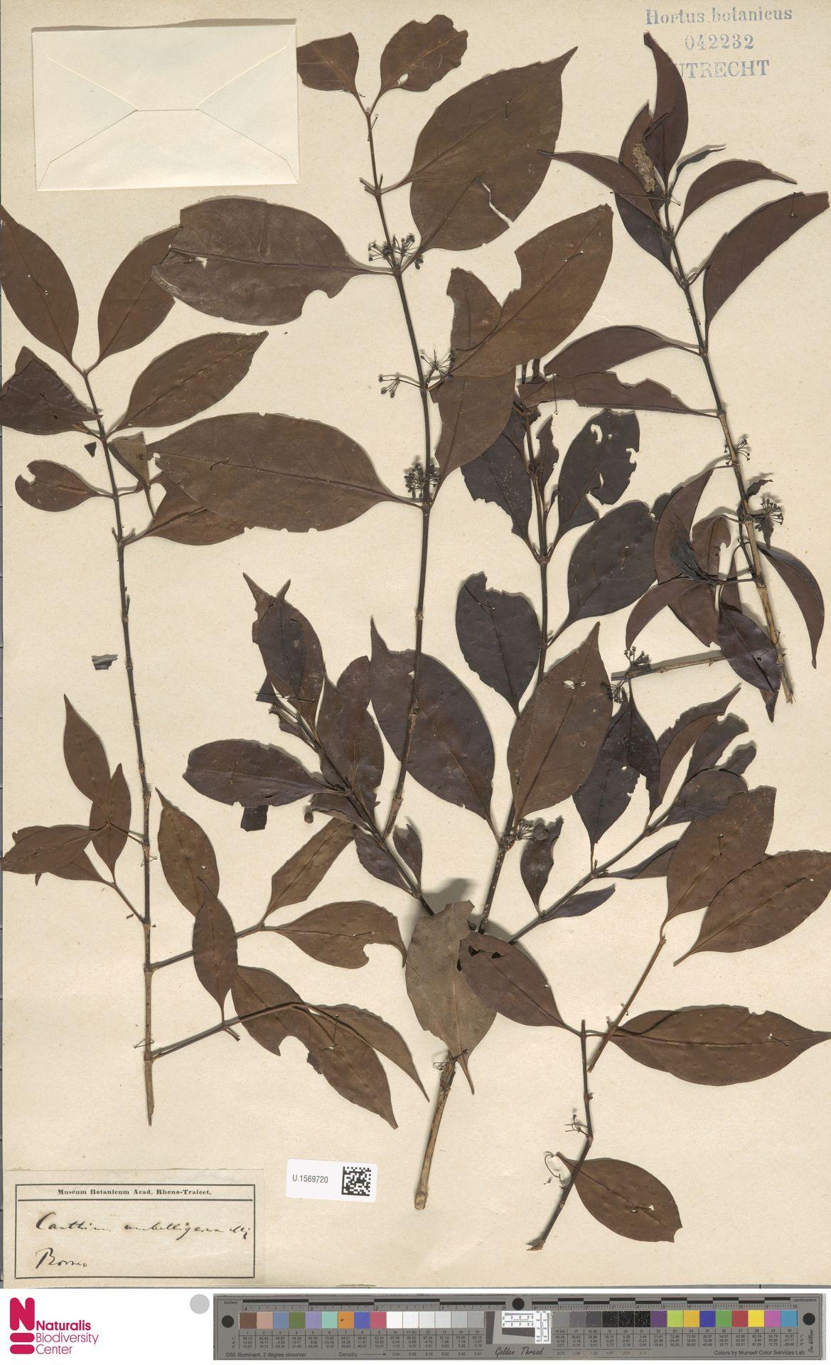 U.1569720 | Canthium umbelligerum Miq.