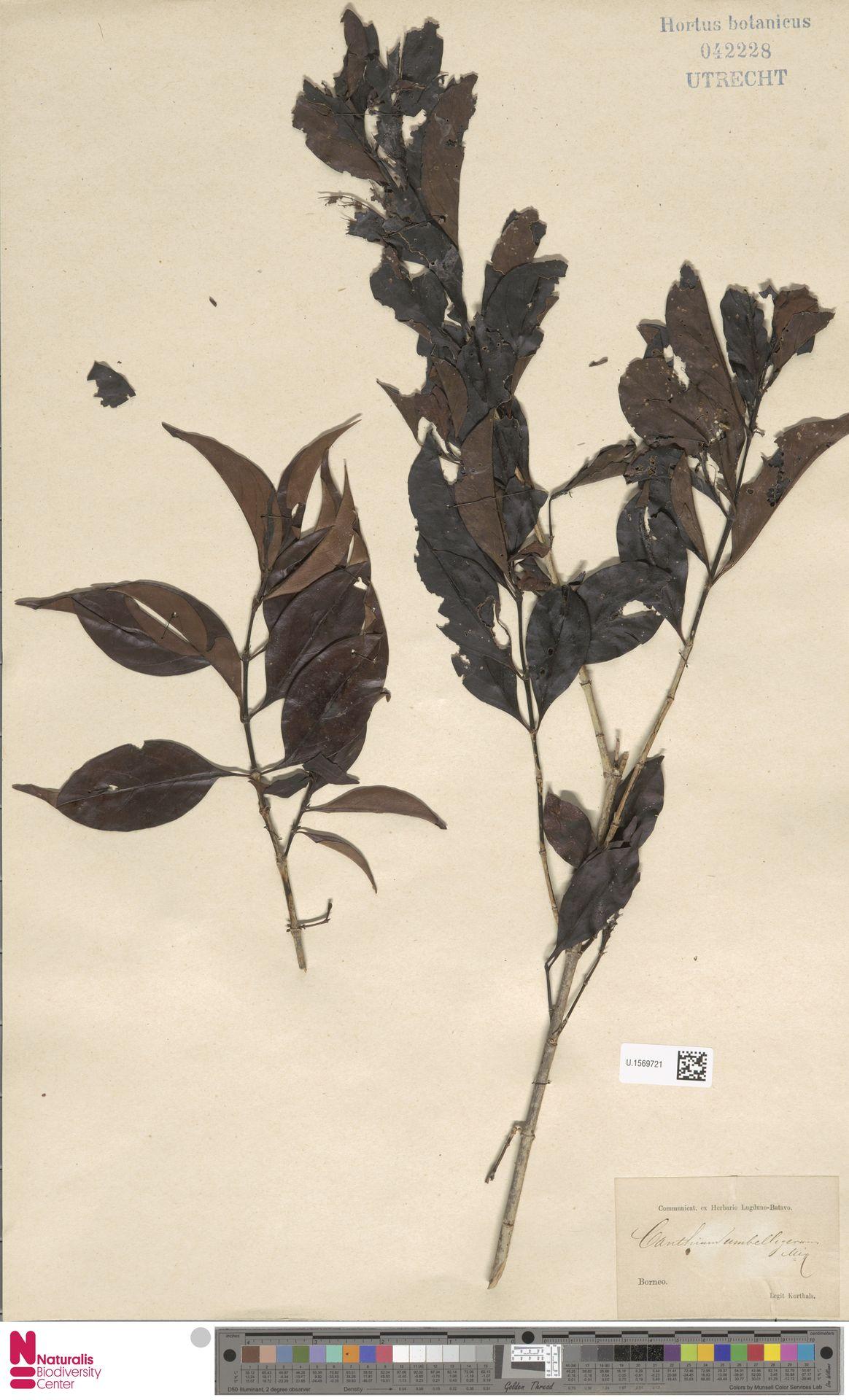 U.1569721 | Canthium umbelligerum Miq.