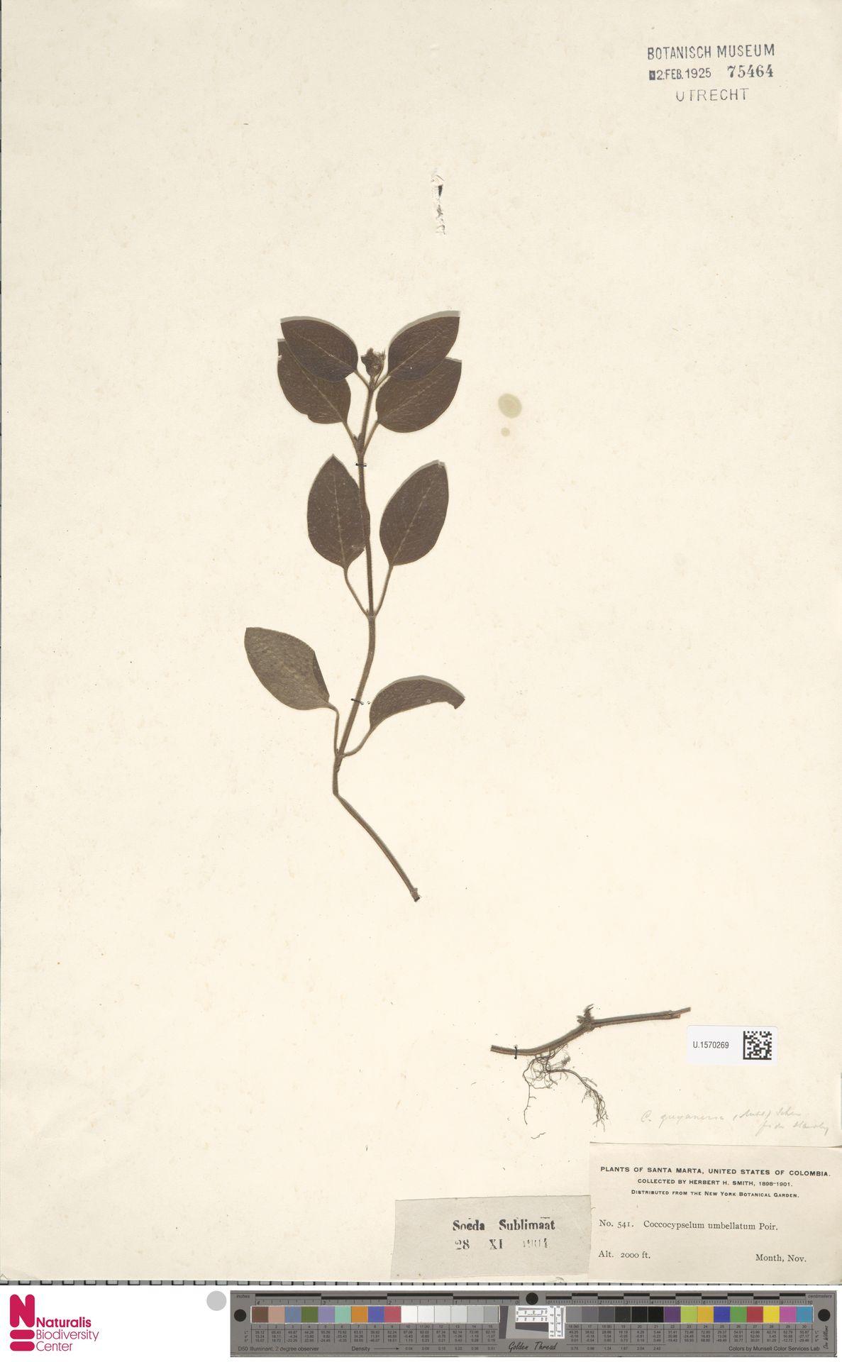 U.1570269 | Coccocypselum umbellatum Poir.