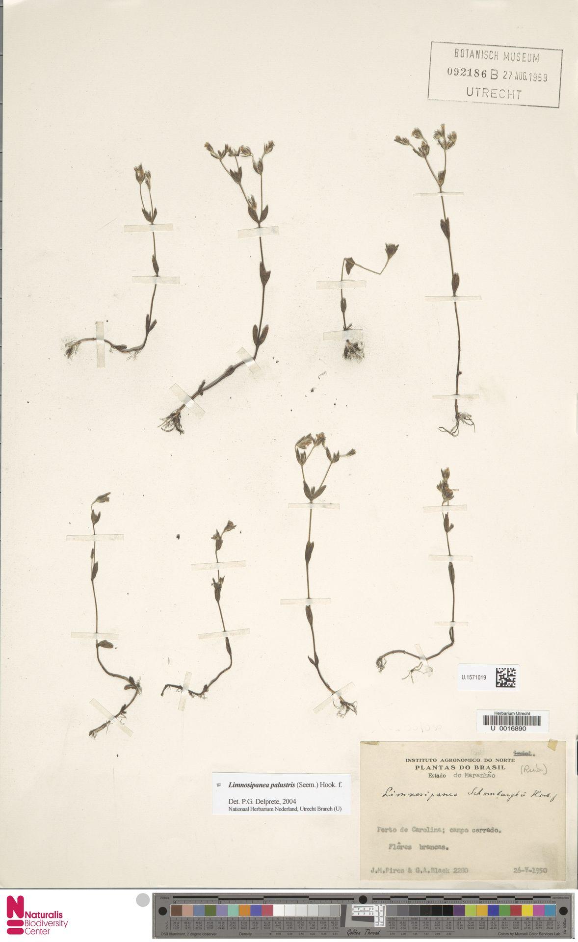 U.1571019 | Gironniera nervosa Planch.