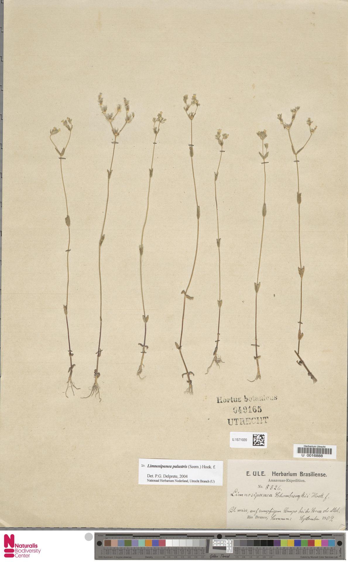 U.1571020 | Gironniera nervosa Planch.