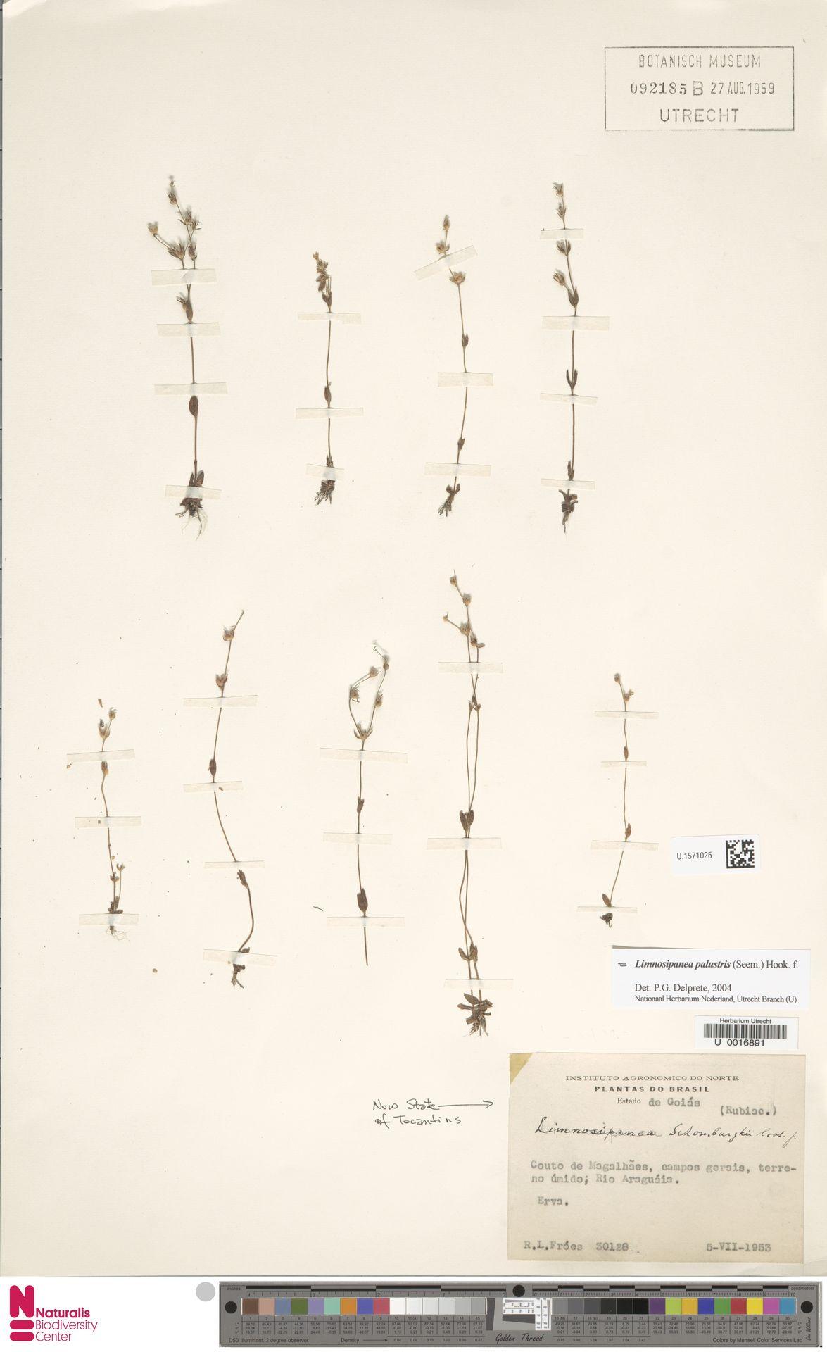 U.1571025 | Gironniera nervosa Planch.