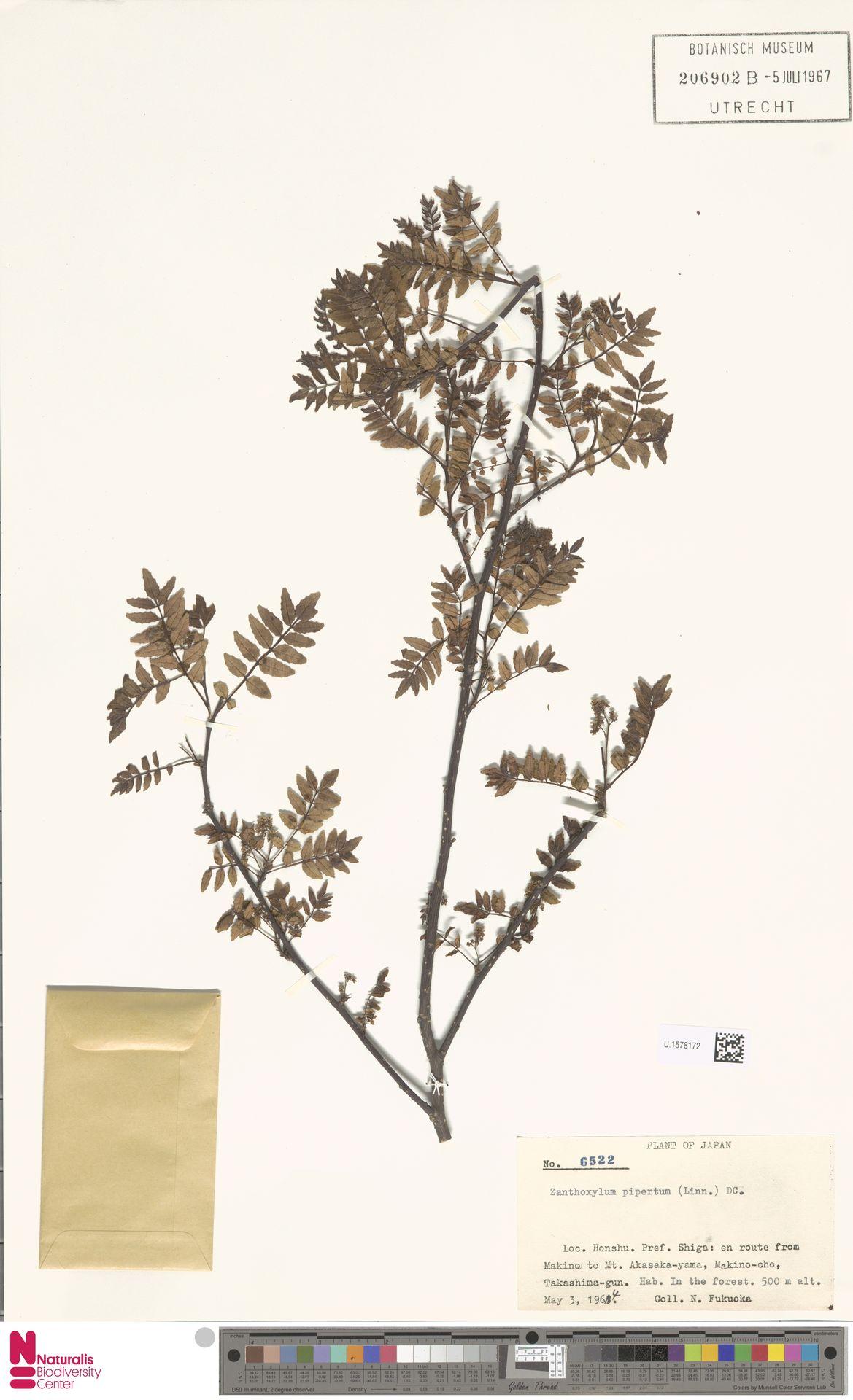 U.1578172 | Zanthoxylum piperitum DC.