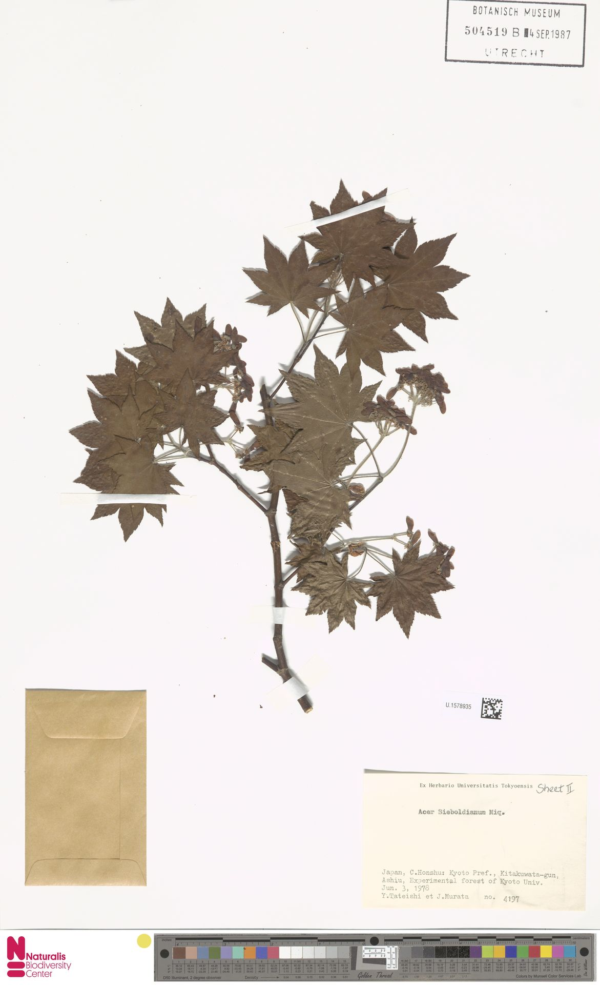 U.1578935 | Acer sieboldianum Miq.