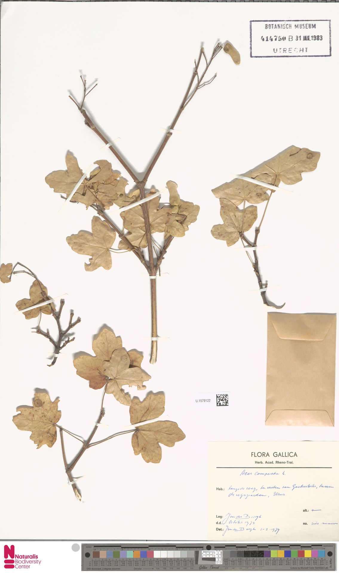 U.1579122 | Acer campestre L.