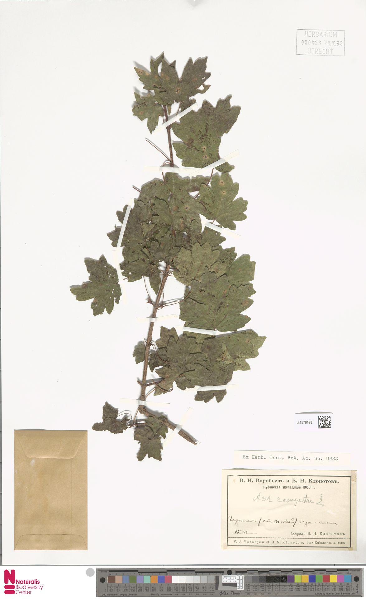 U.1579128 | Acer campestre L.