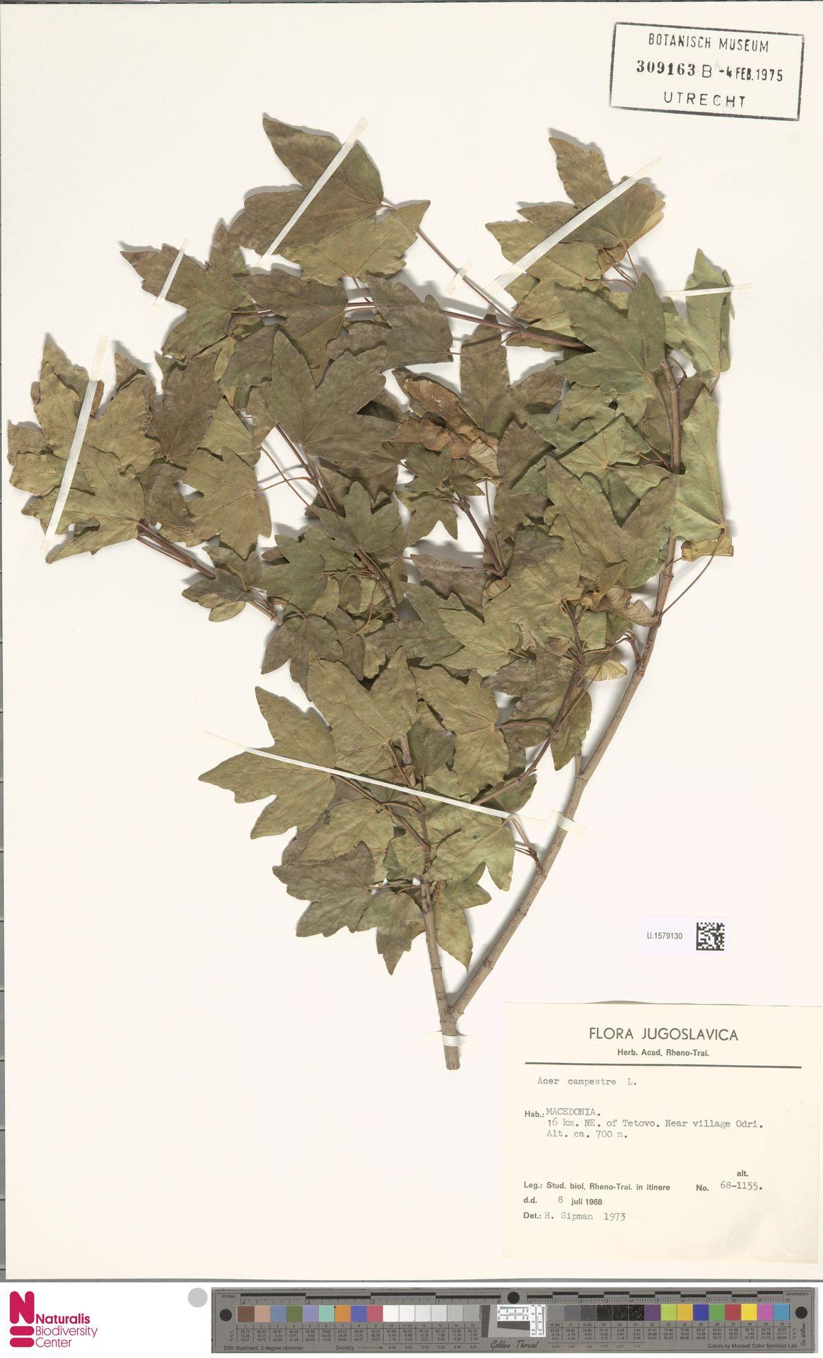 U.1579130 | Acer campestre L.