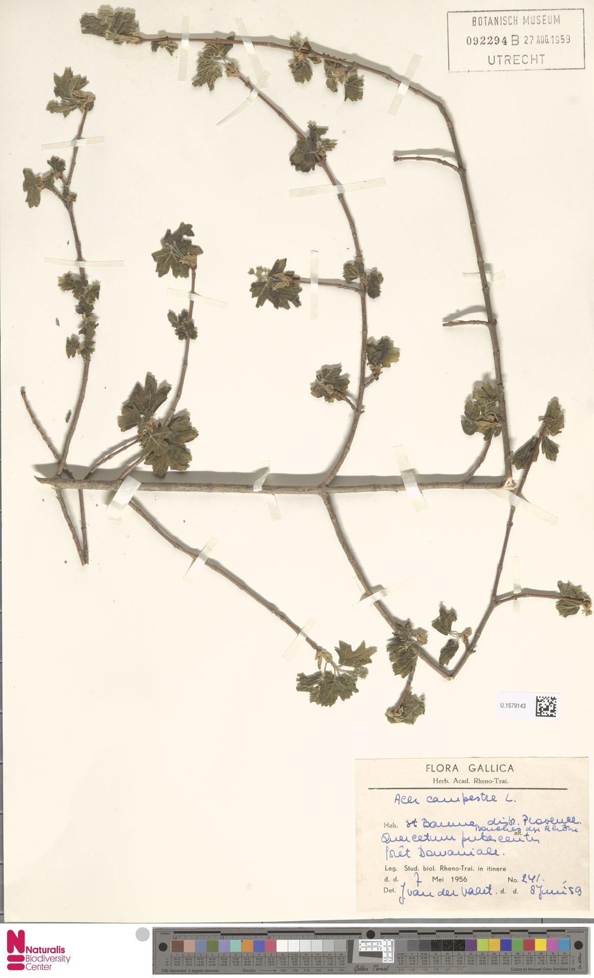 U.1579143 | Acer campestre L.